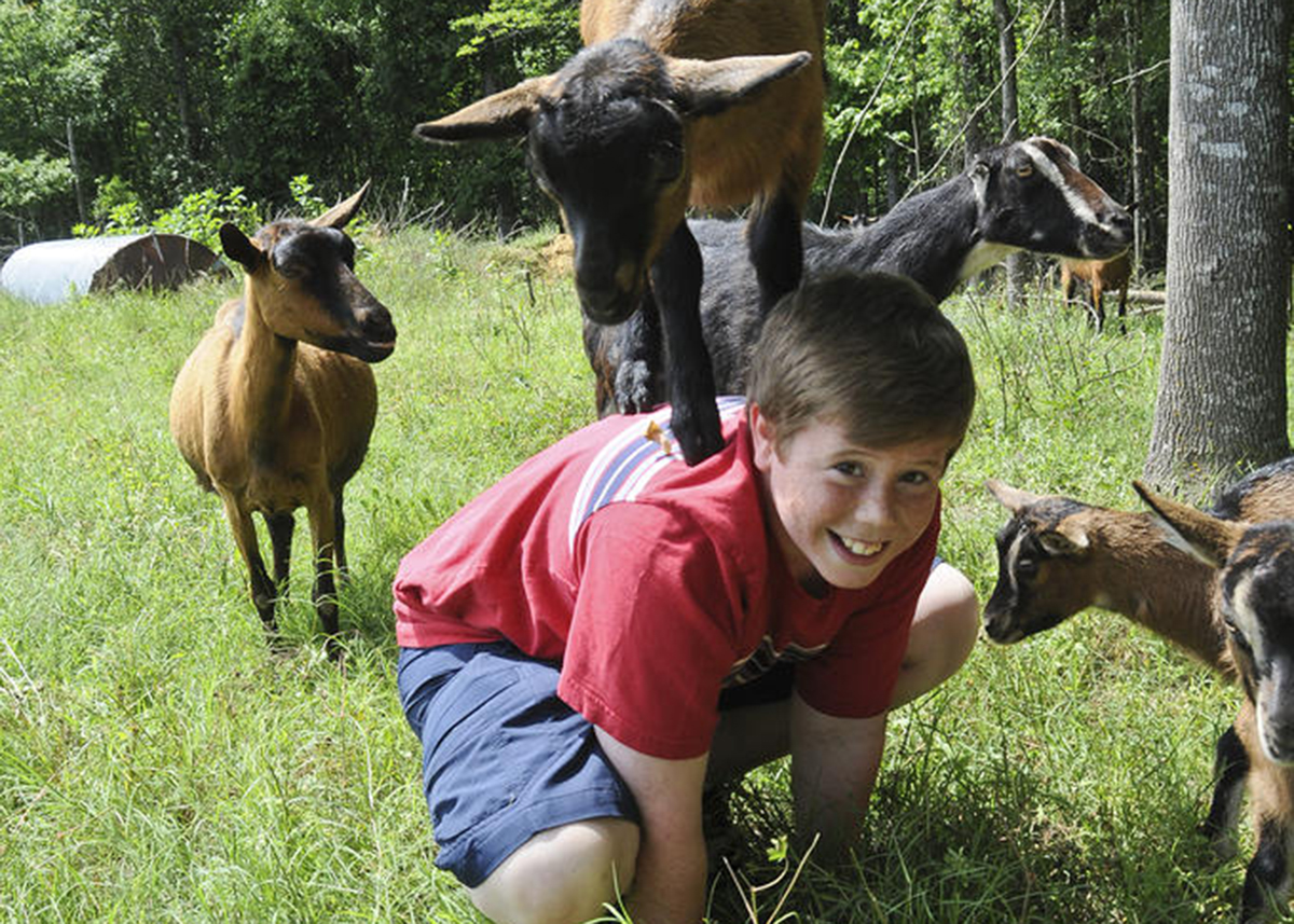 goat playfully stands on little boys back as other members of the herd surround them