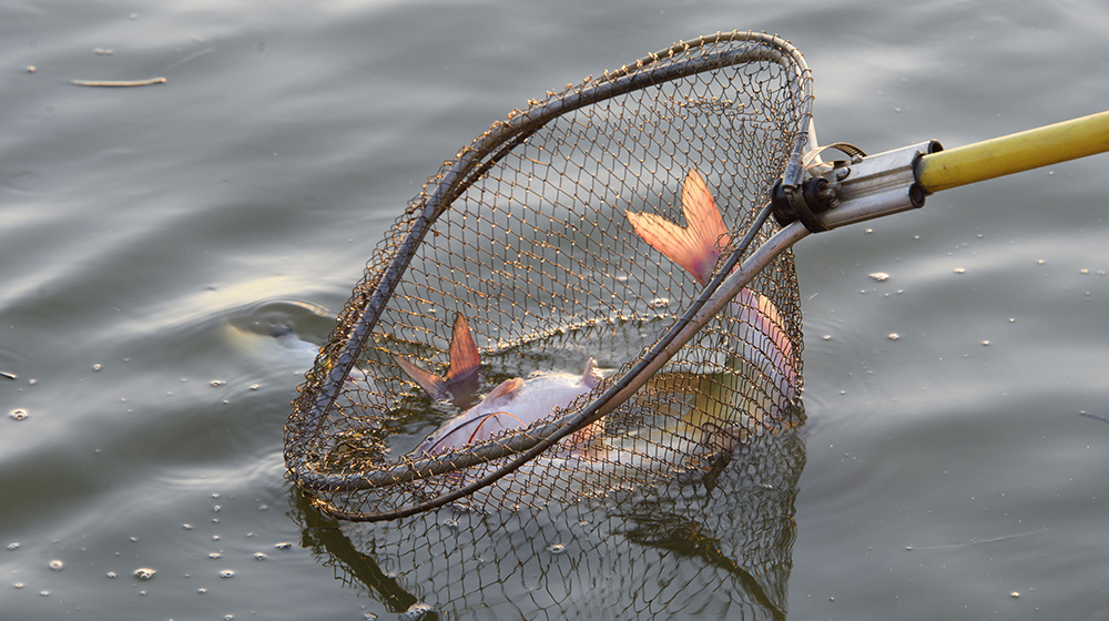Close-up of a dip net being used to catch catfish in a pond