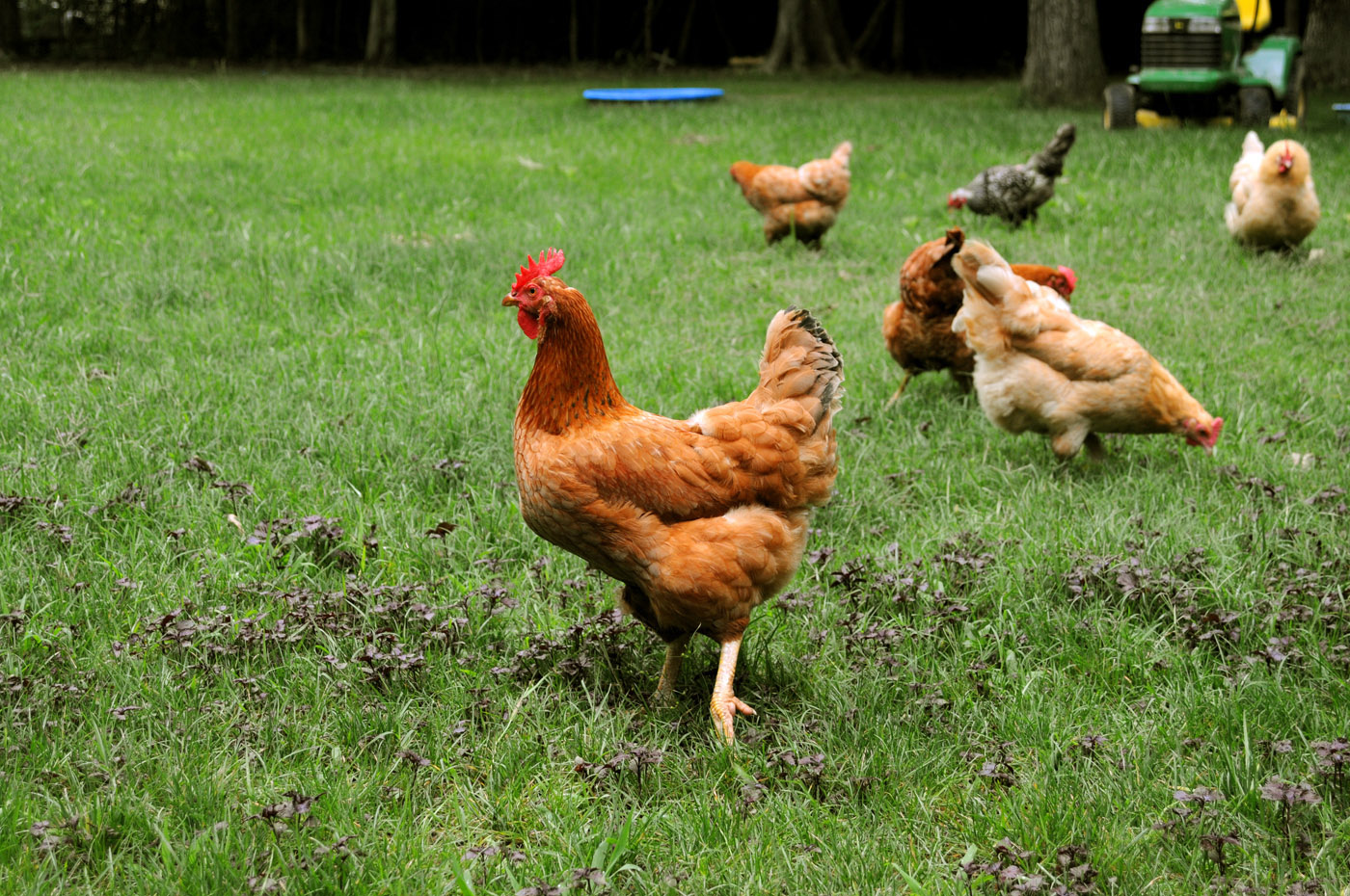 backyard chickens provide way to enjoy fresh eggs mississippi state extension