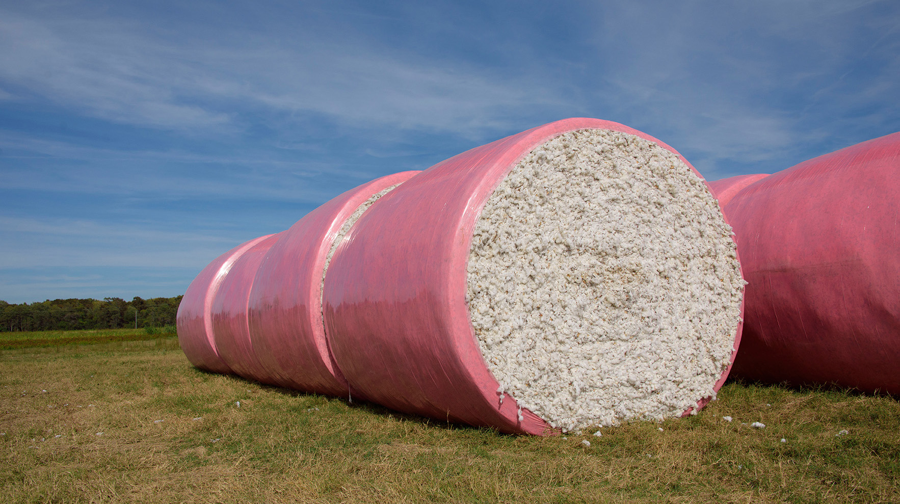 Bales of pink-wrapped, round cotton bales sit in a field.