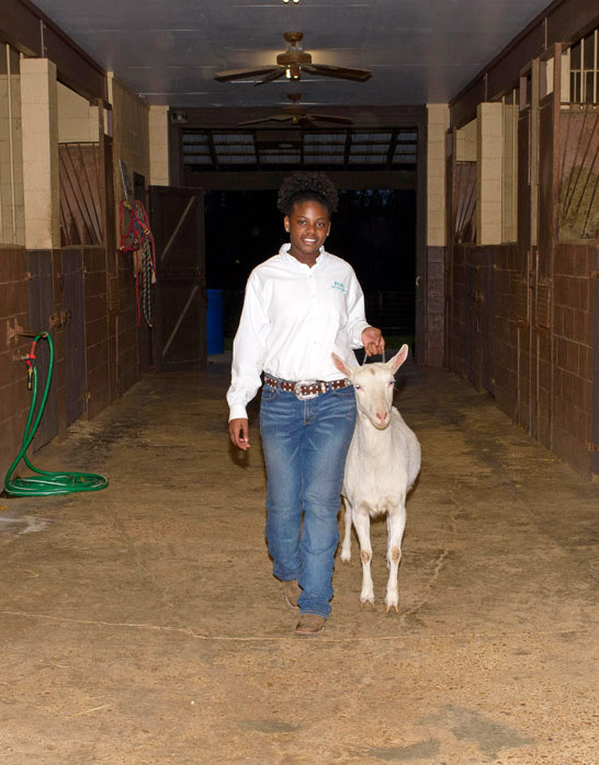 A young female wearing a white polo shirt, jeans, and studded leather belt walks a white goat through a barn.
