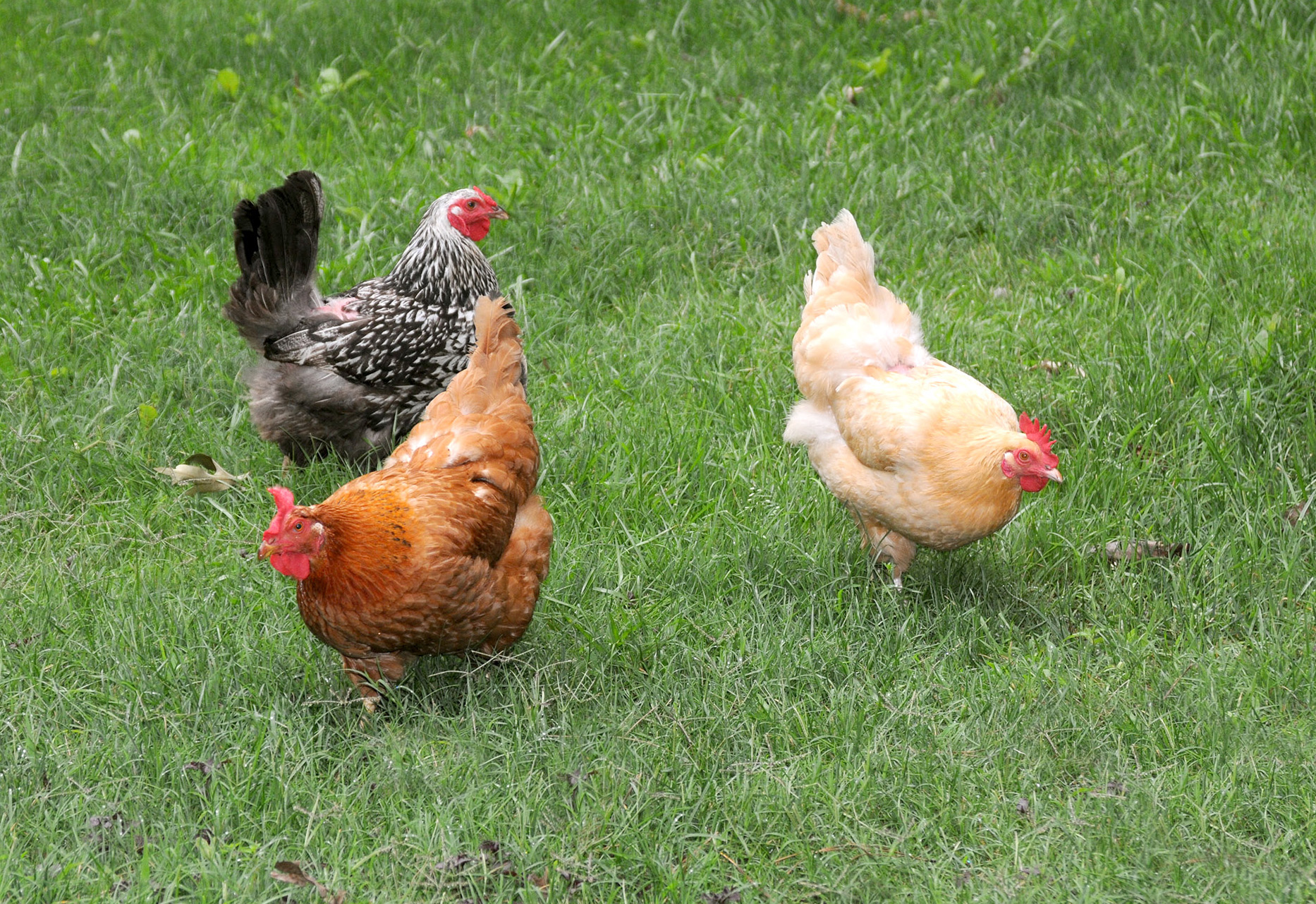 raising chickens for eggs and meat pdf