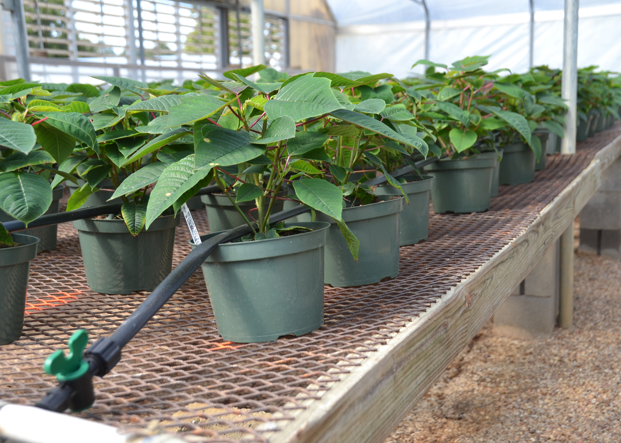 Poinsettias At Standing Pine Nursery In Raymond Get Consistent Water And Fertilizer Through A Modified Low