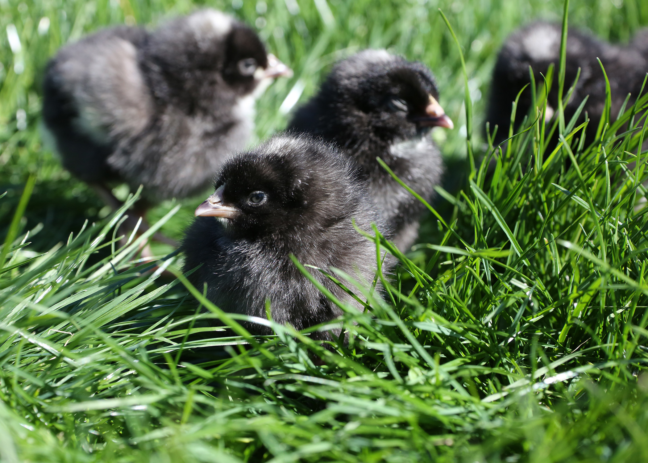 Young chicks covered in gray and black down explore green grass on a sunny day.