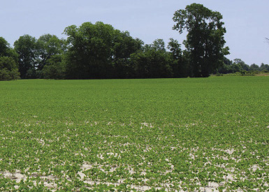 A field of crops sprayed with herbicides.