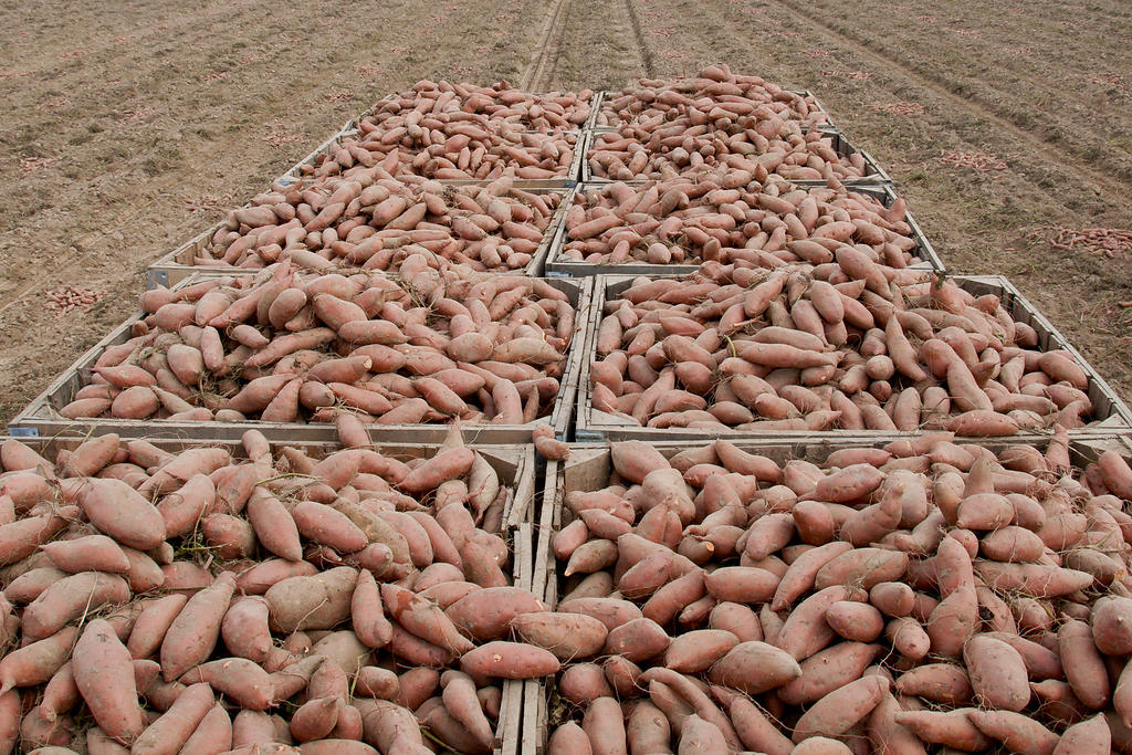 A bin of sweet potatoes sitting in a field harvested from Edmonson Farm in Vardaman, MS