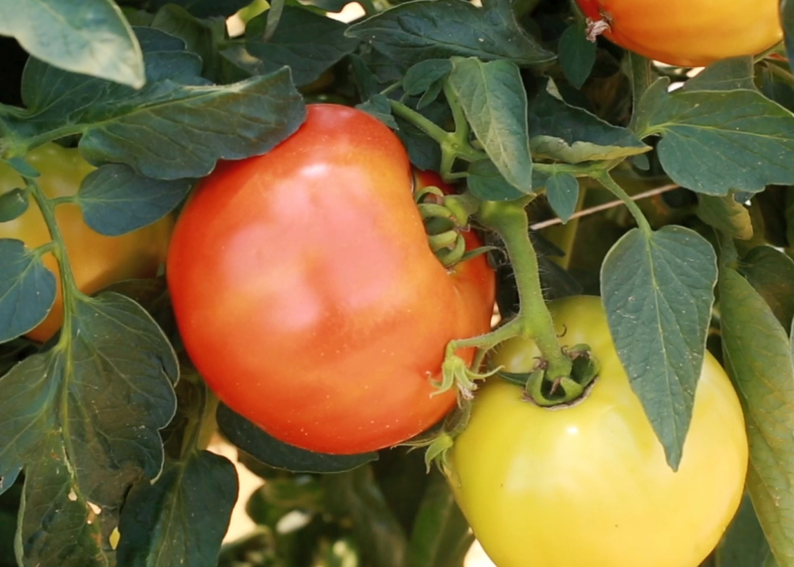 Tomatoes - Staking | Mississippi State University Extension Service