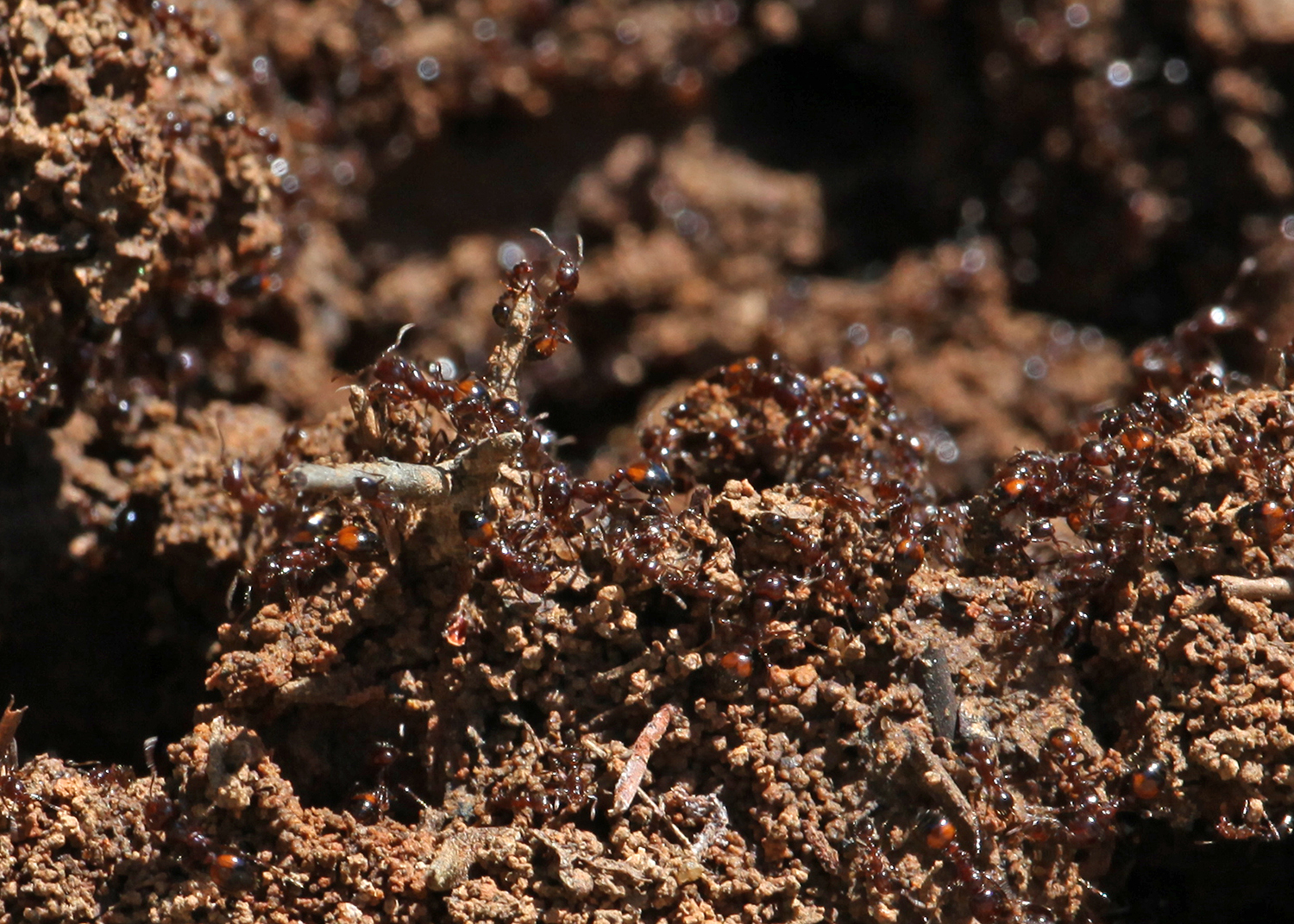 Control Fire Ants in and Around Home Vegetable Gardens   Mississippi ...