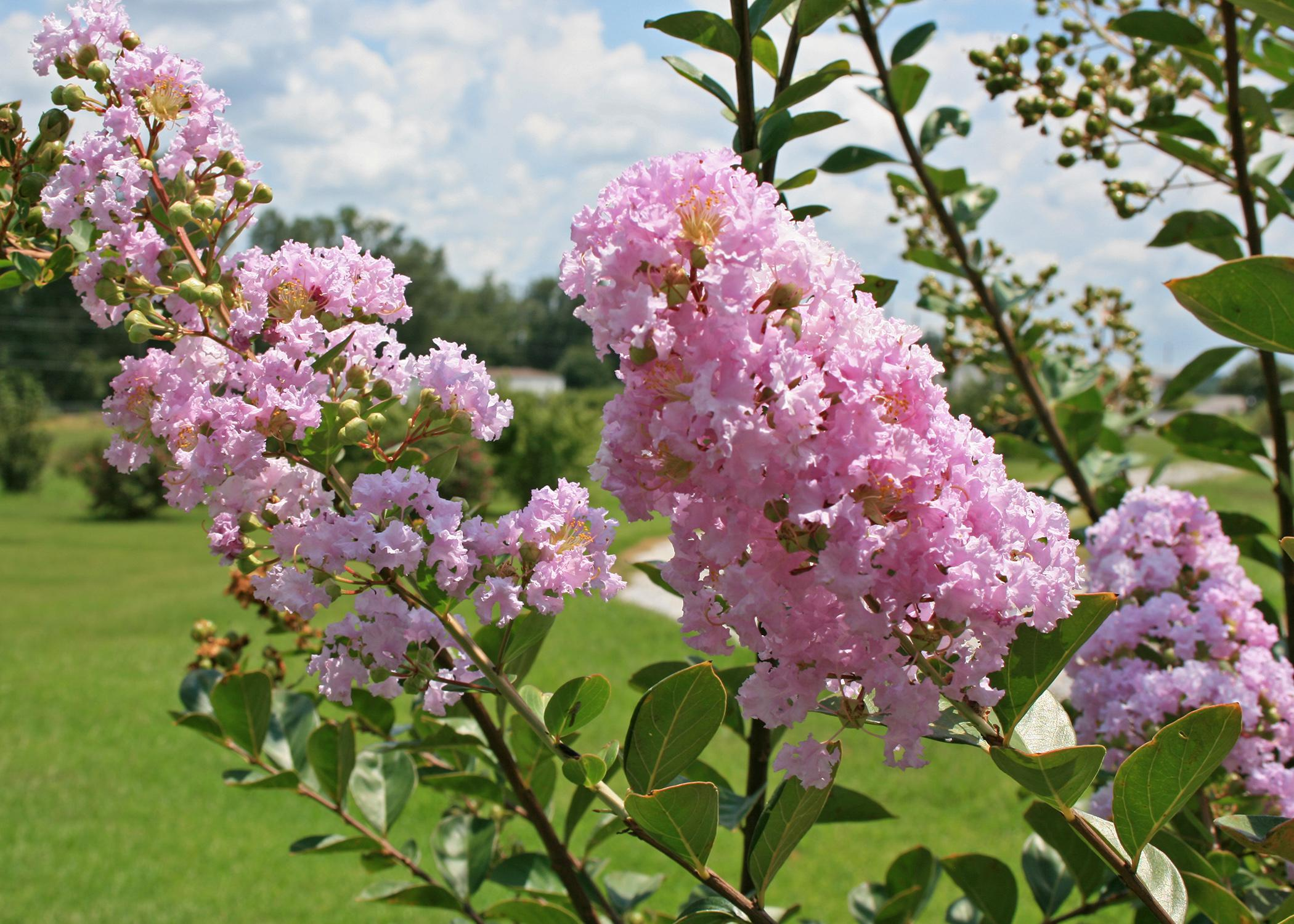 Annual Flowering Plants In Mississippi Mississippi State