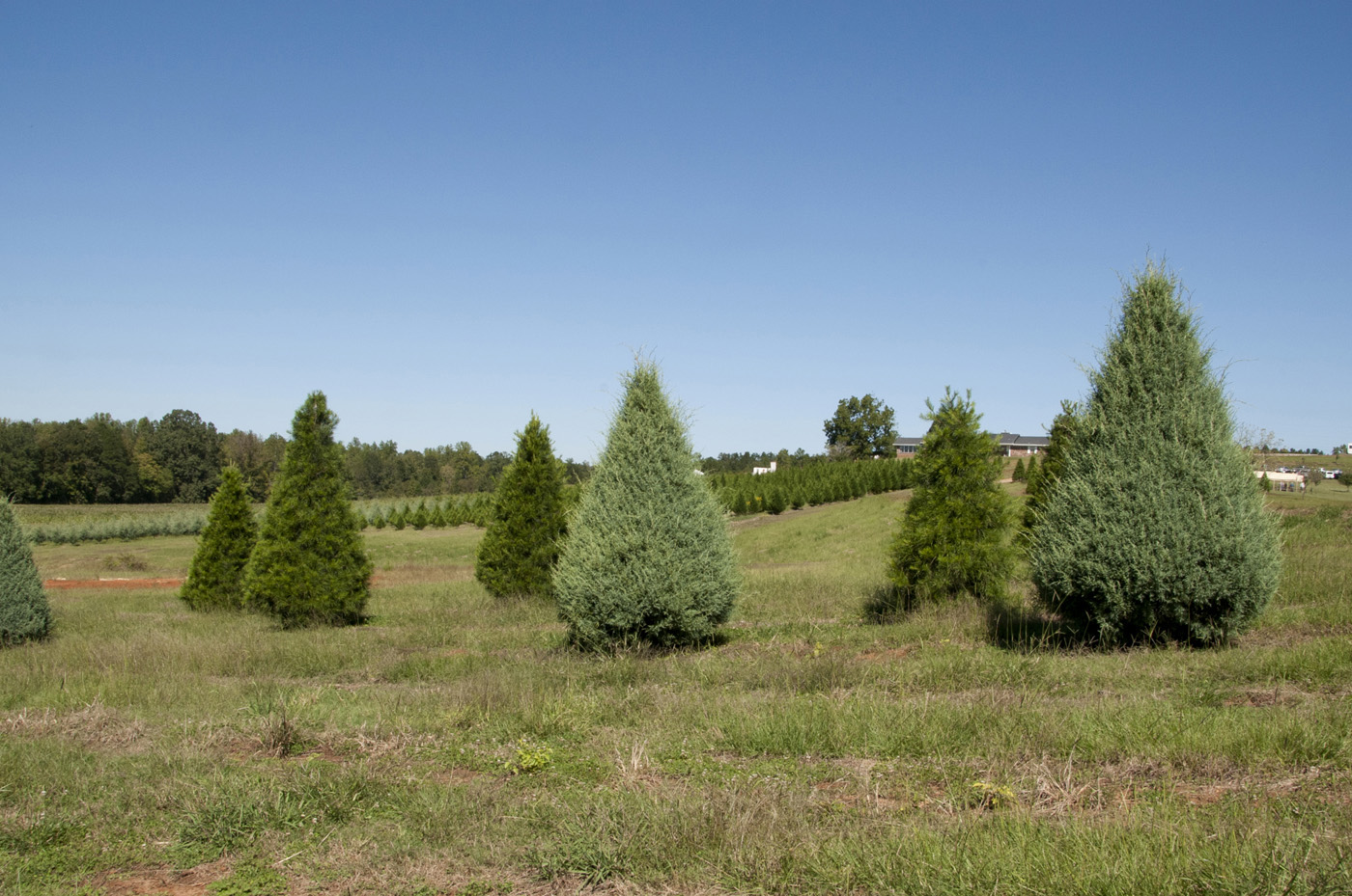 it takes four years to grow mississippi christmas trees to the popular 6 to 8 feet - How Many Christmas Trees Per Acre