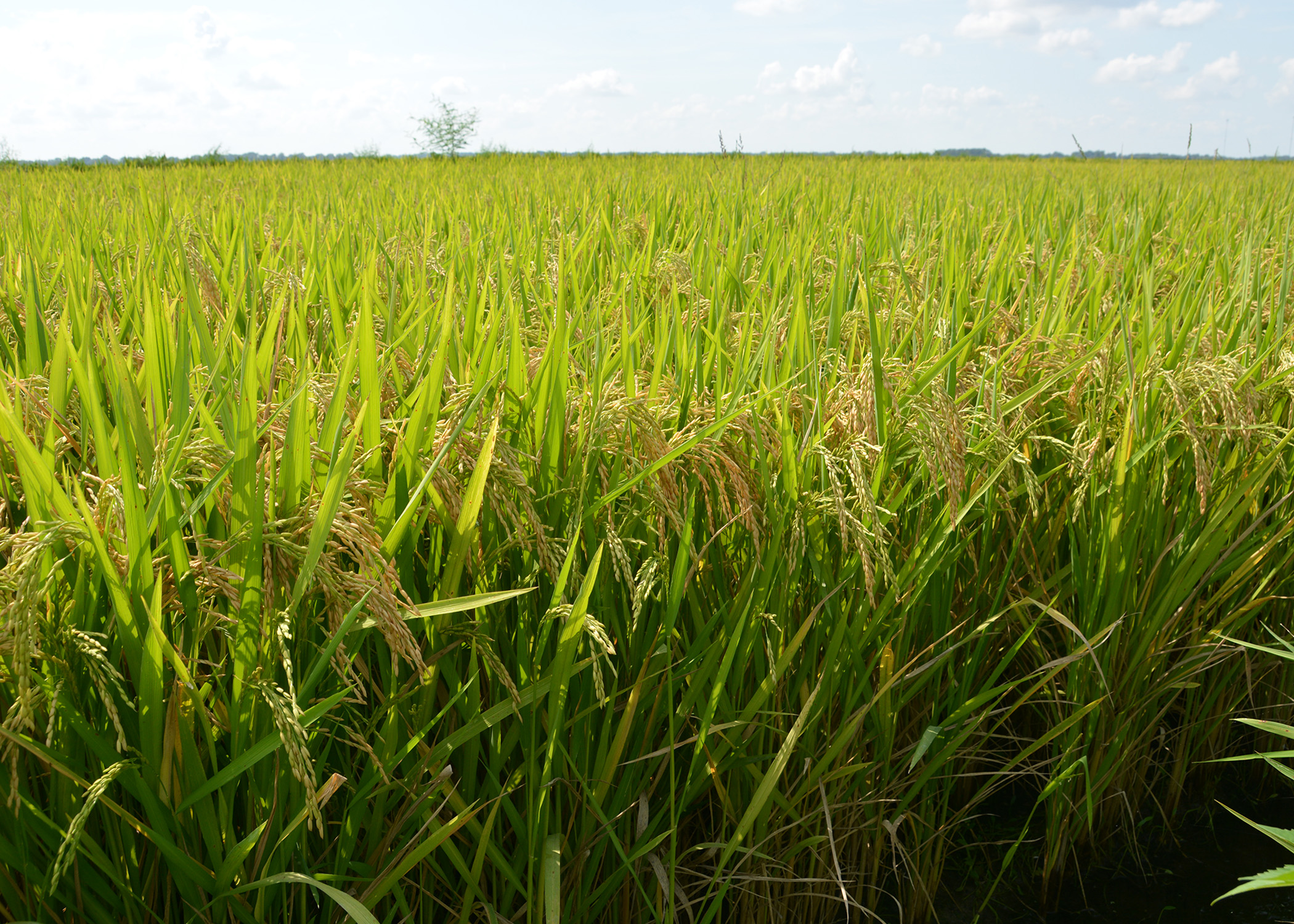 rice crops This statistic displays a timeline of the annual crop production volume of rice in peru from 2016 to 2026, measured in million metric tons by 2026, the crop production volume of rice in the south.