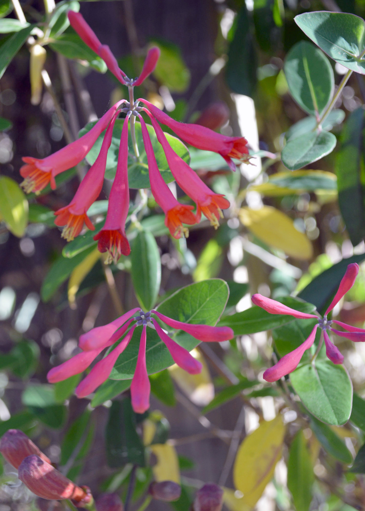 Attract hummingbirds with native plants