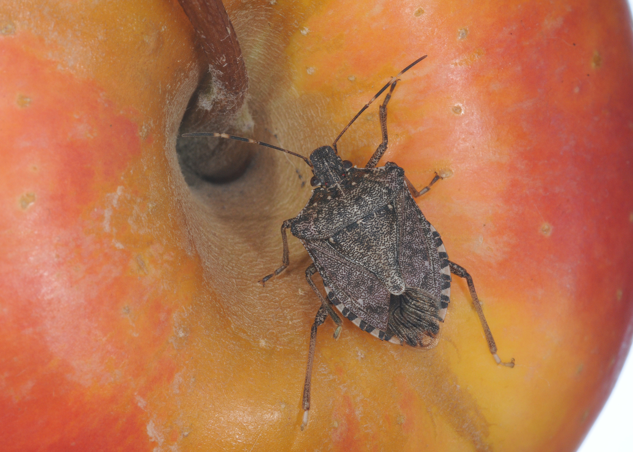 A brown marmorated stink bug with numerous small spots on its body and two  white lines. Report sightings of brown marmorated stink bugs   Mississippi