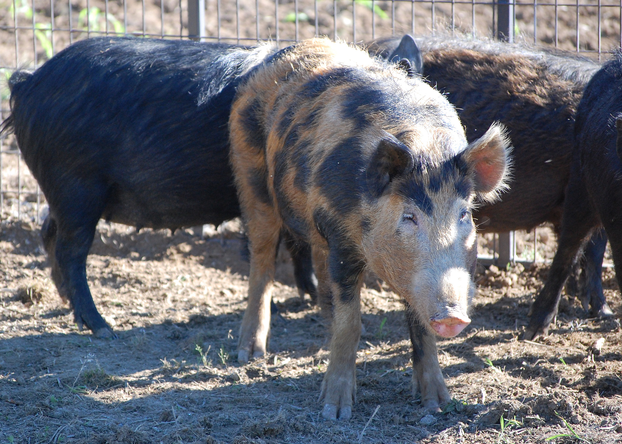 Transporting wild hogs threatens land, crops | Mississippi