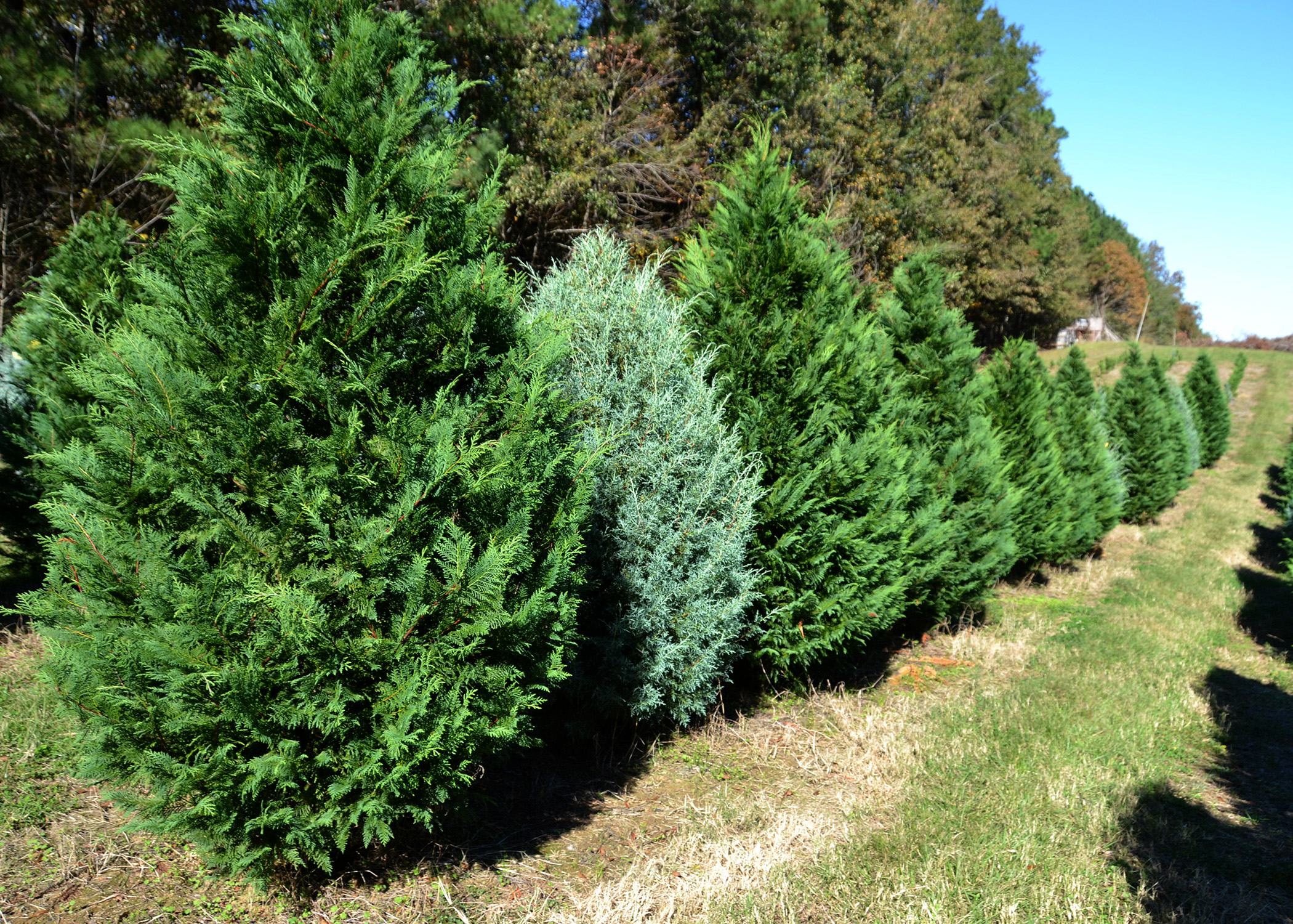 Christmas Tree Demand High Extra Rains Help Growers Mississippi  - Plant Christmas Trees