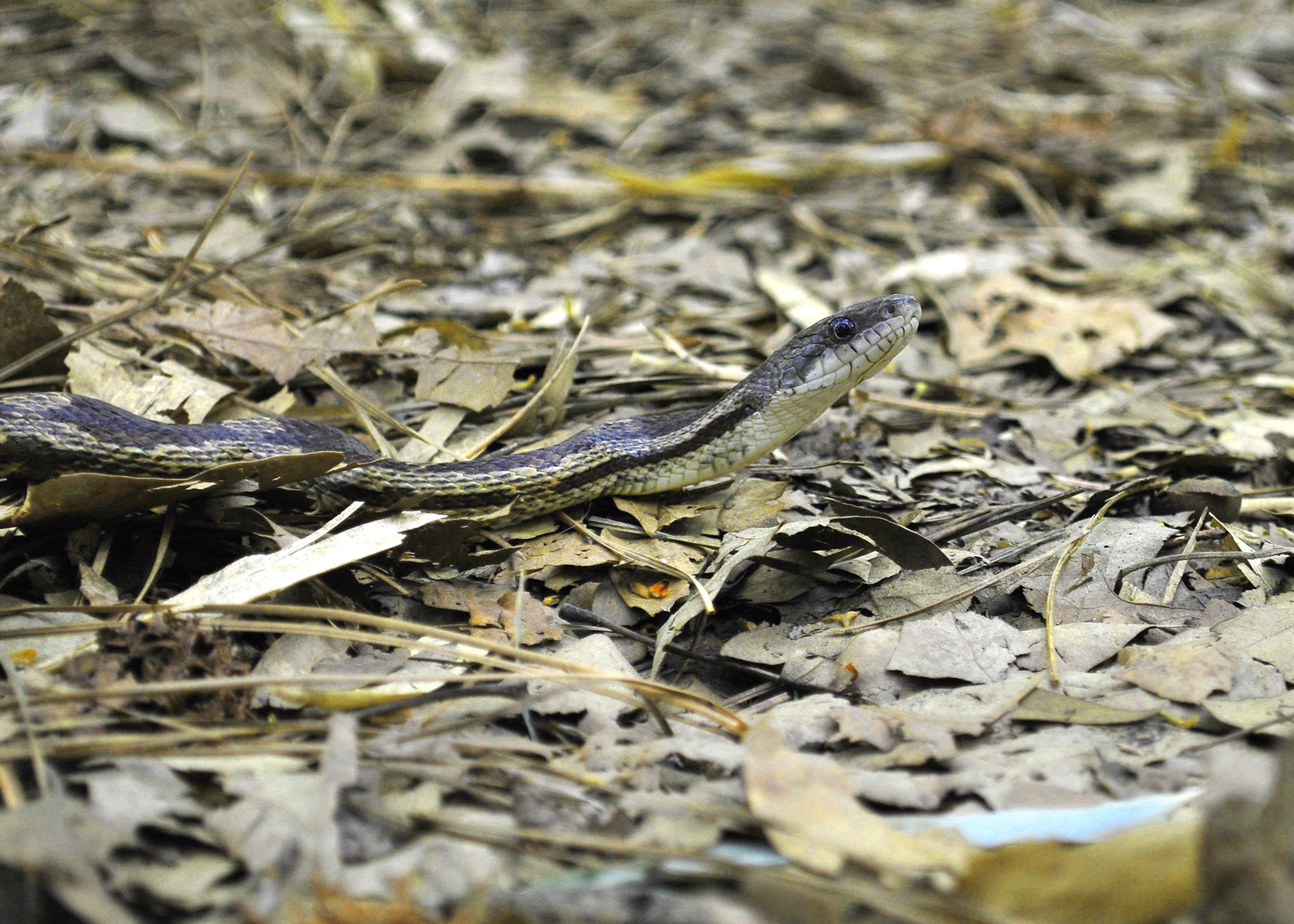 Most Mississippi snakes are beneficial, not deadly | Mississippi