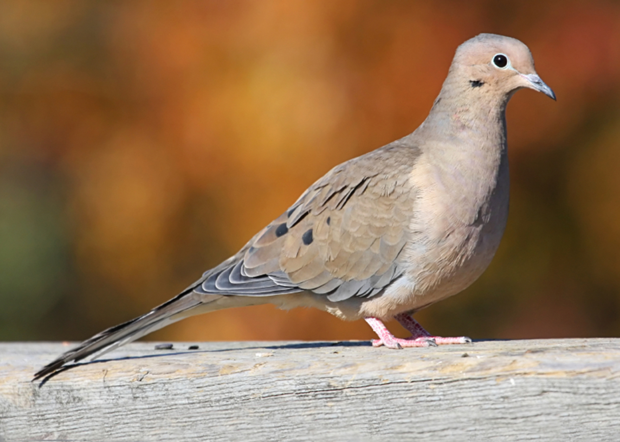 Mourning doves bring enjoyment, recreation | Mississippi ...