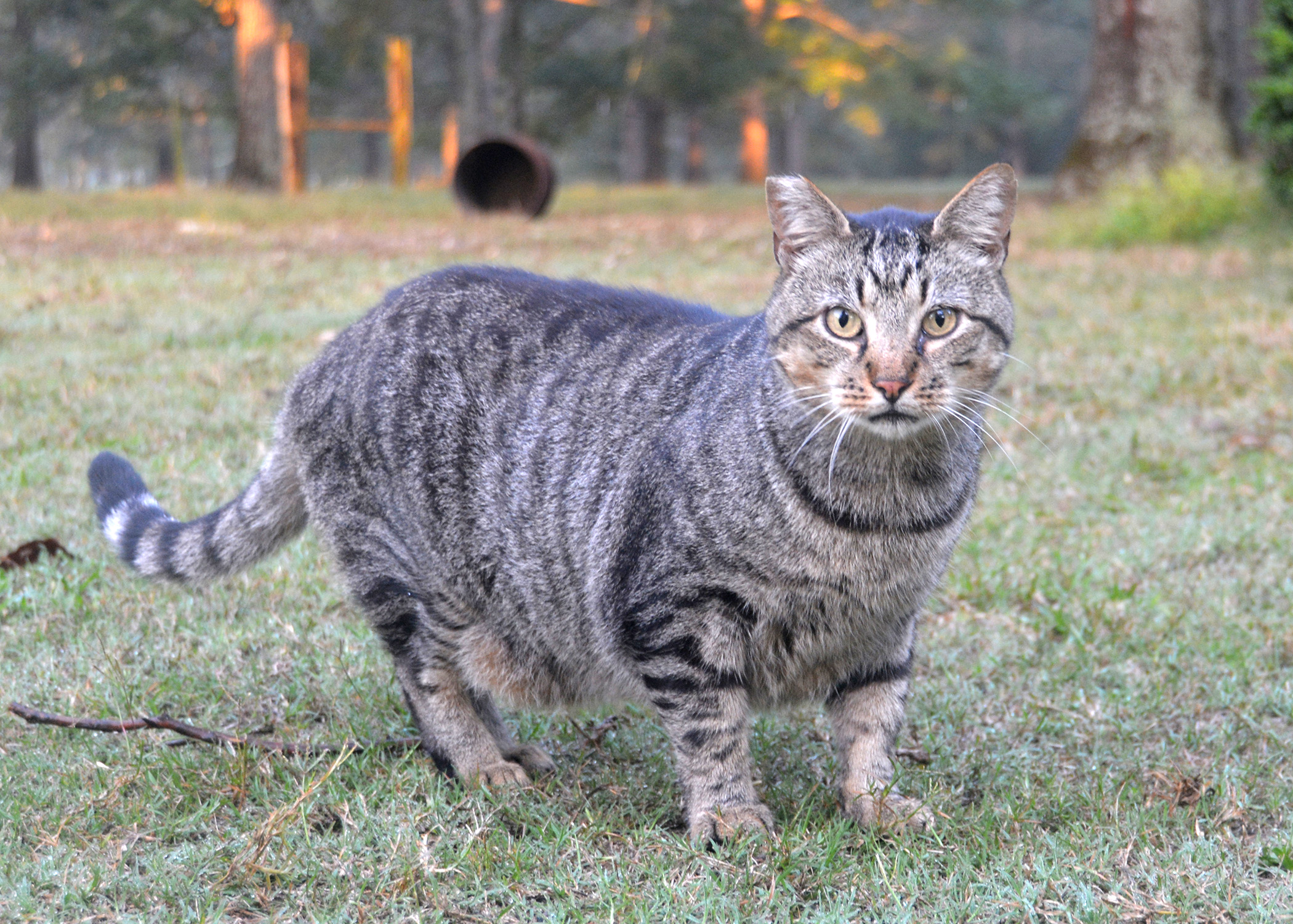 Spay Or Neuter Cats Whenever Possible Mississippi State