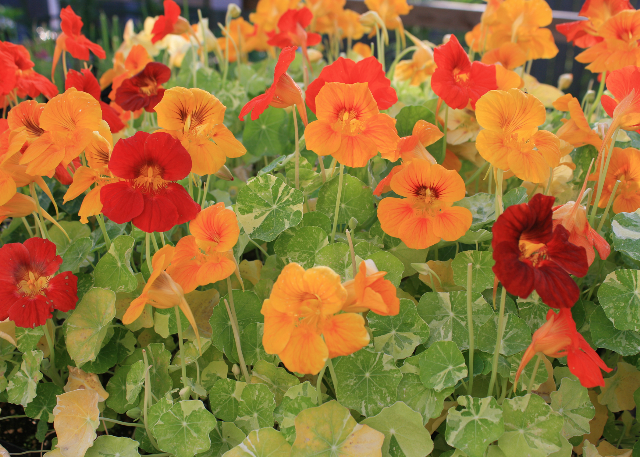 Nasturtiums are heirloom flowers that are colorful and easy to grow. Their color variety, such as seen in these Nasturtium Alaska selections, can rival any new offerings in garden centers this spring. (Photo by MSU Extension/Gary Bachman)