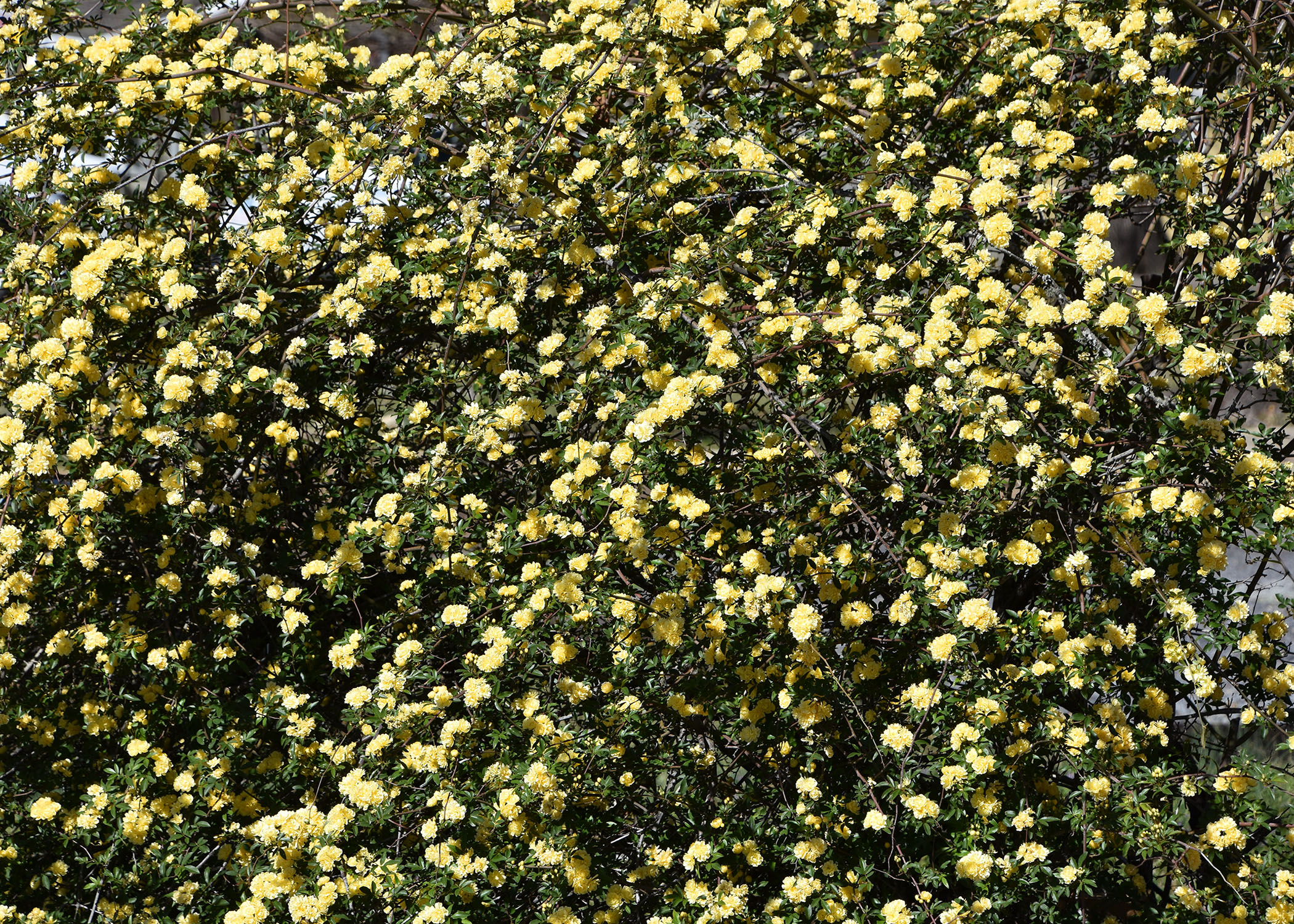 These climbing roses thrive in Mississippi | Mississippi State ...
