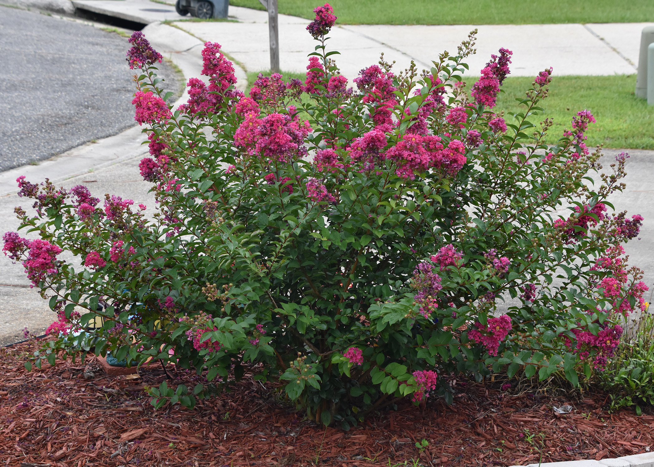 Crape Myrtle Is Garden Must Have In The South Mississippi State