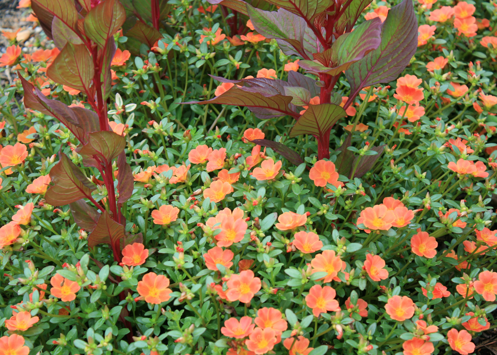Old purslane has new value in summer heat mississippi state purslane is an old succulent that thrives in high summer temperatures new varieties such izmirmasajfo