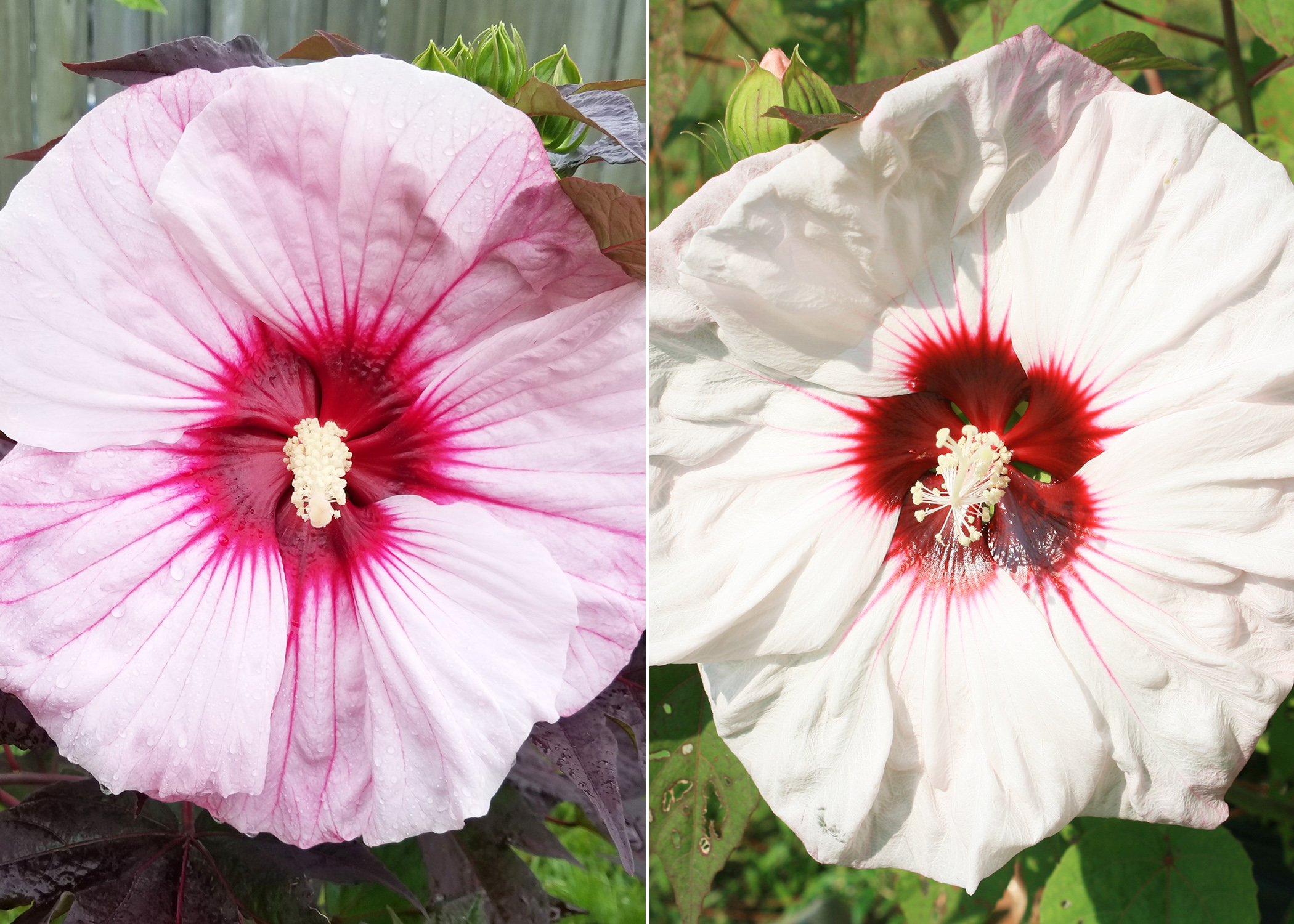 Use Hardy Hibiscus For Late Summer Blooms Mississippi State