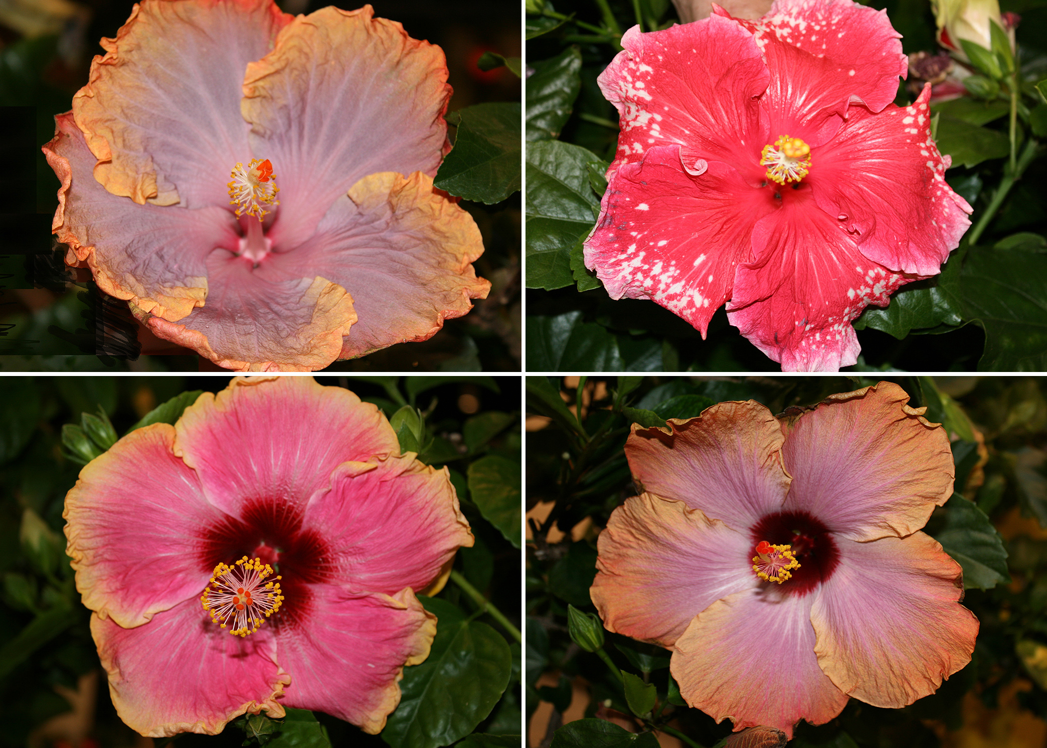 Cajun hibiscus are terrific tropical hibiscus for state tropical hibiscus such as this cajun creole lady top left require consistent izmirmasajfo