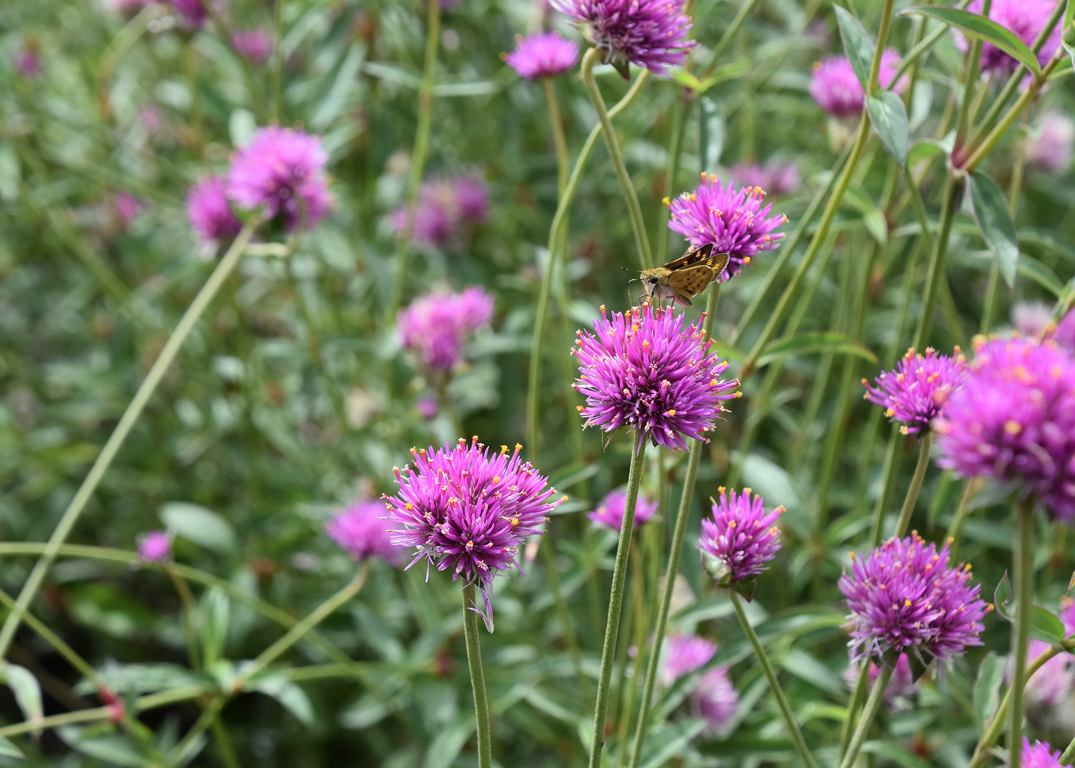 Gomphrena Beauties Defy Summer Weather Mississippi State