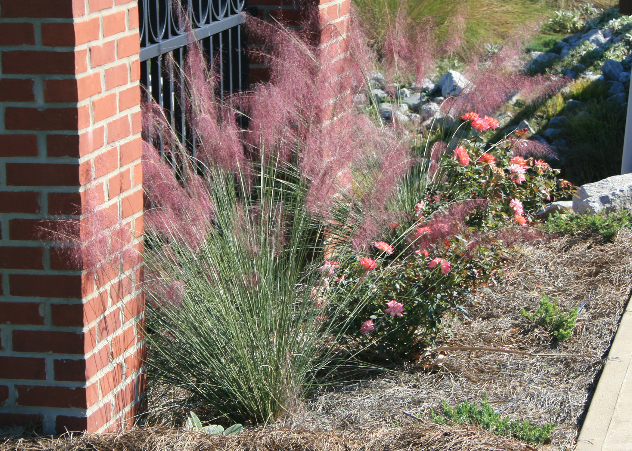 Use Gulf Muhly Grass For Winter Looks Color Mississippi State