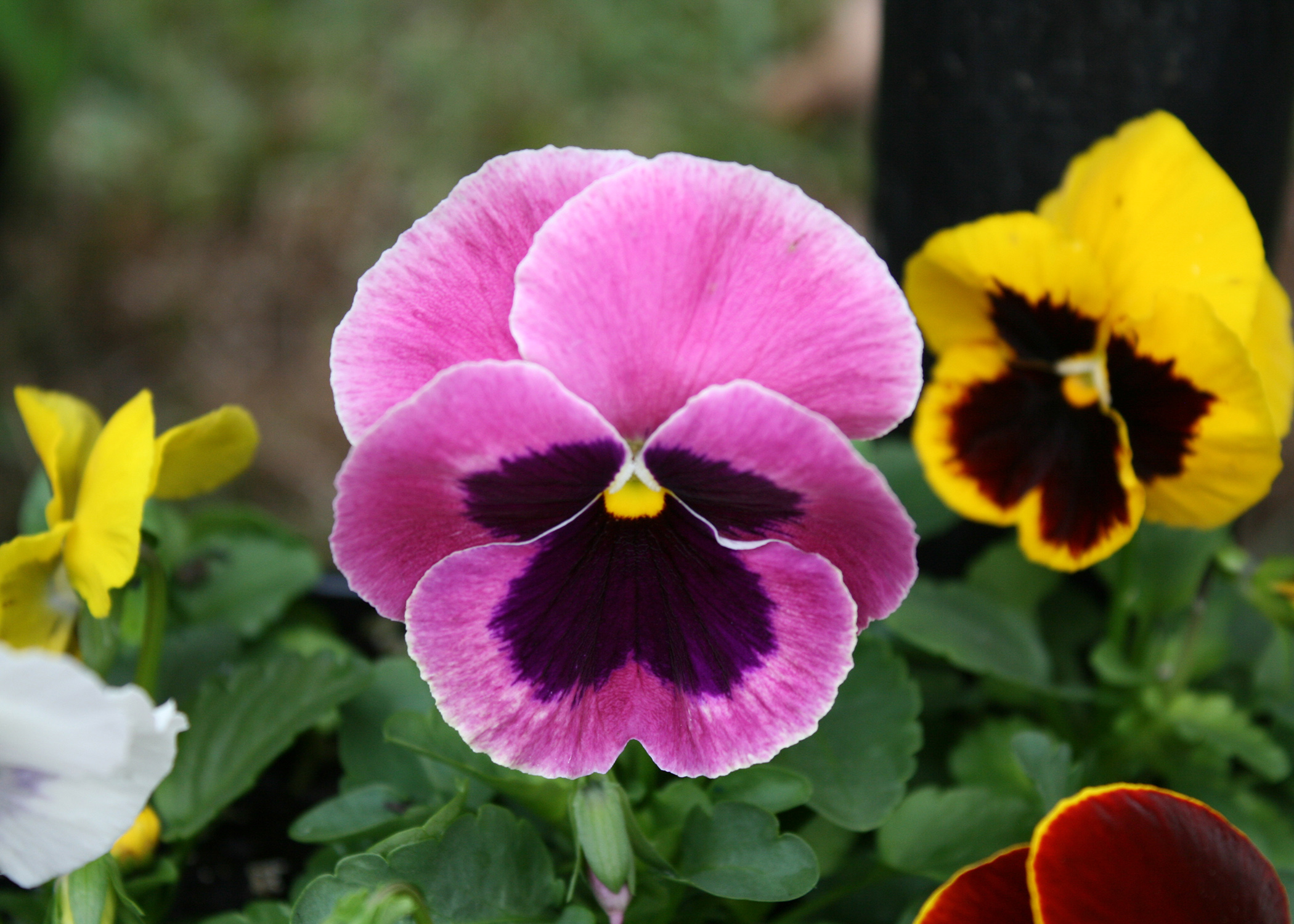 Matrix cool wave pansies highlight winter gardens mississippi a close up of a pink pansy with a dark maroon blotch in the center mightylinksfo