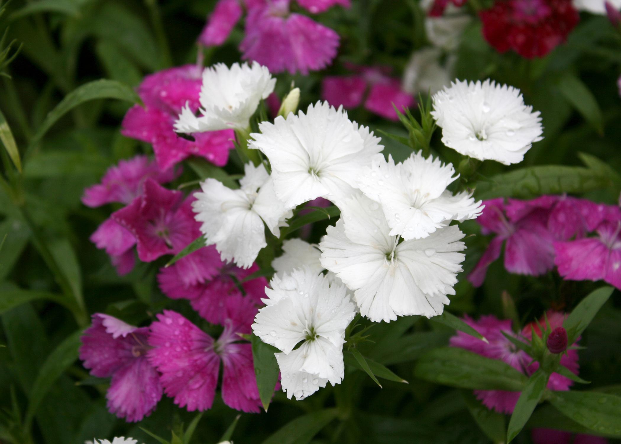 Choose Telstar Dianthus For Winter Spring Color Mississippi State