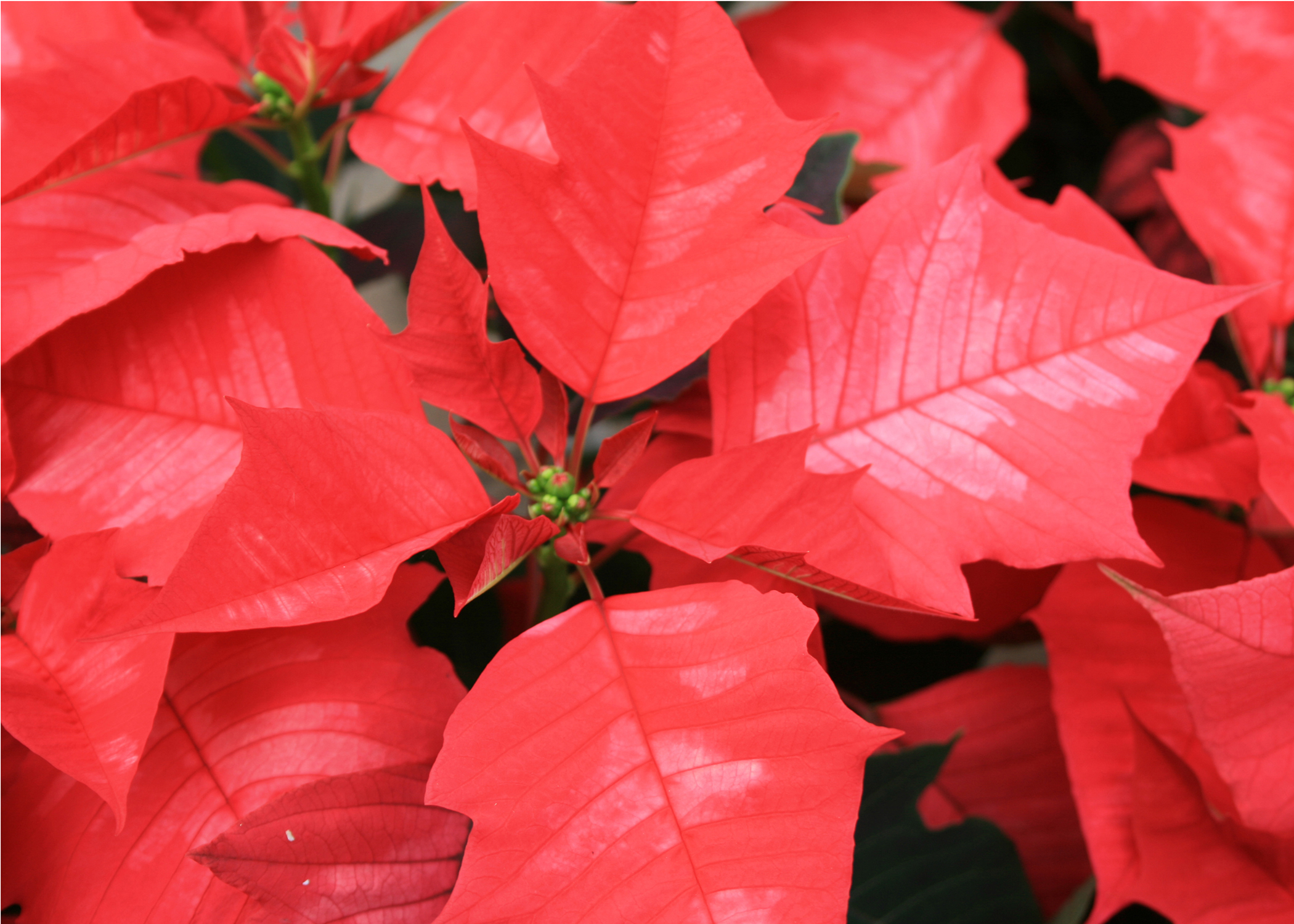 Poinsettias Bring Christmas Cheer And Colors Indoors