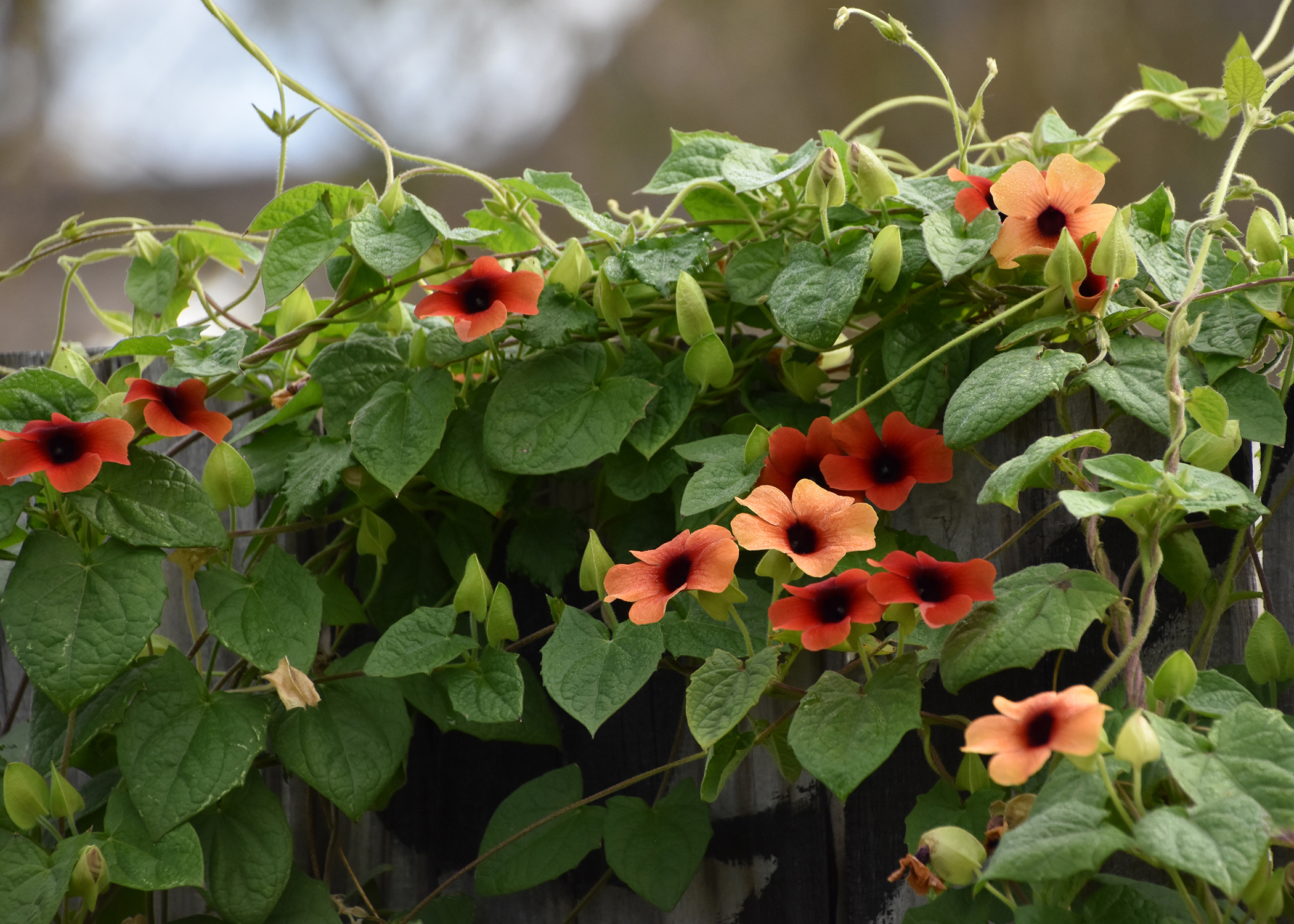 Try Black Eyed Susan Vine For A Resilient Ground Cover Mississippi