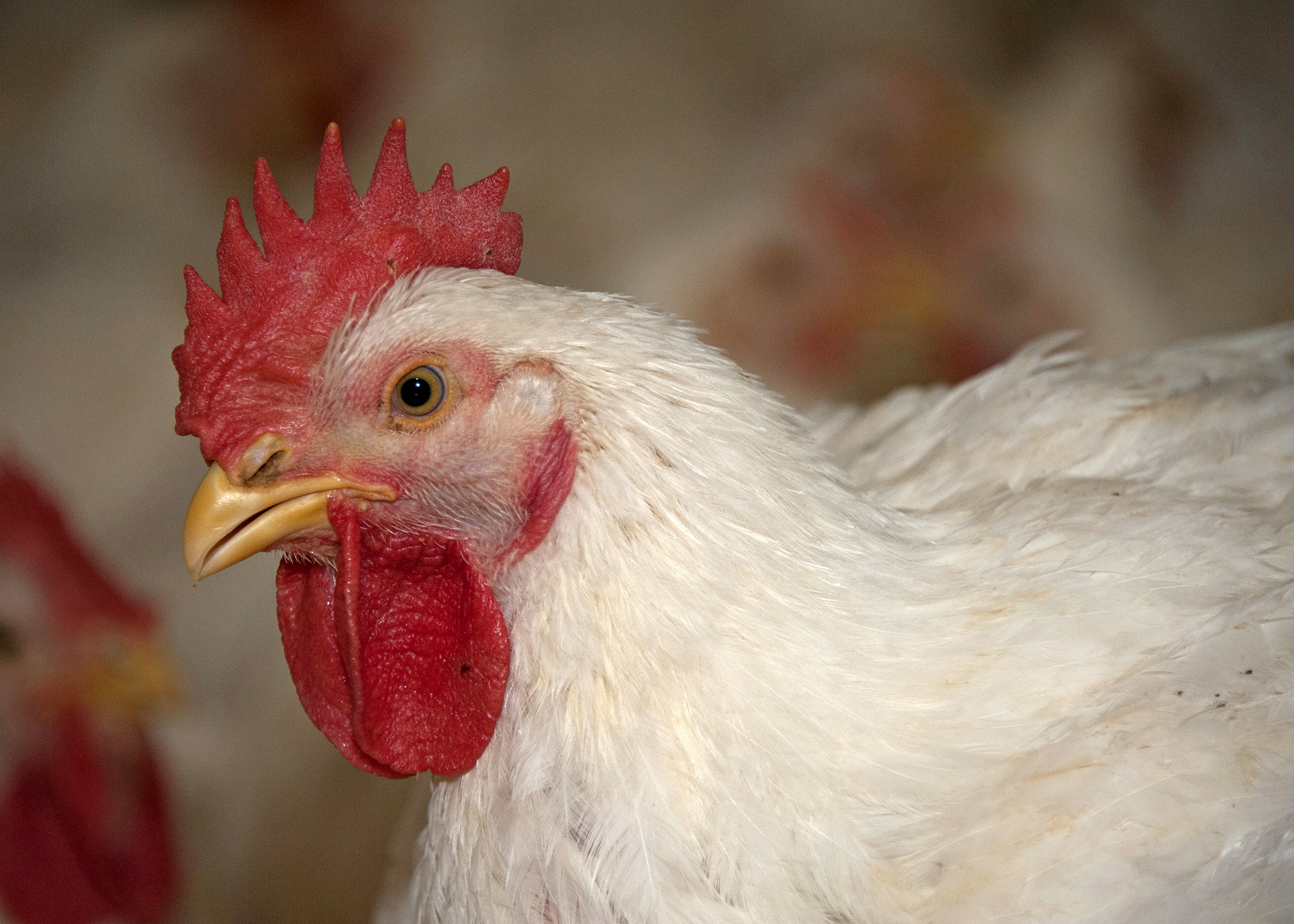 Diseases of Poultry | Mississippi State University Extension