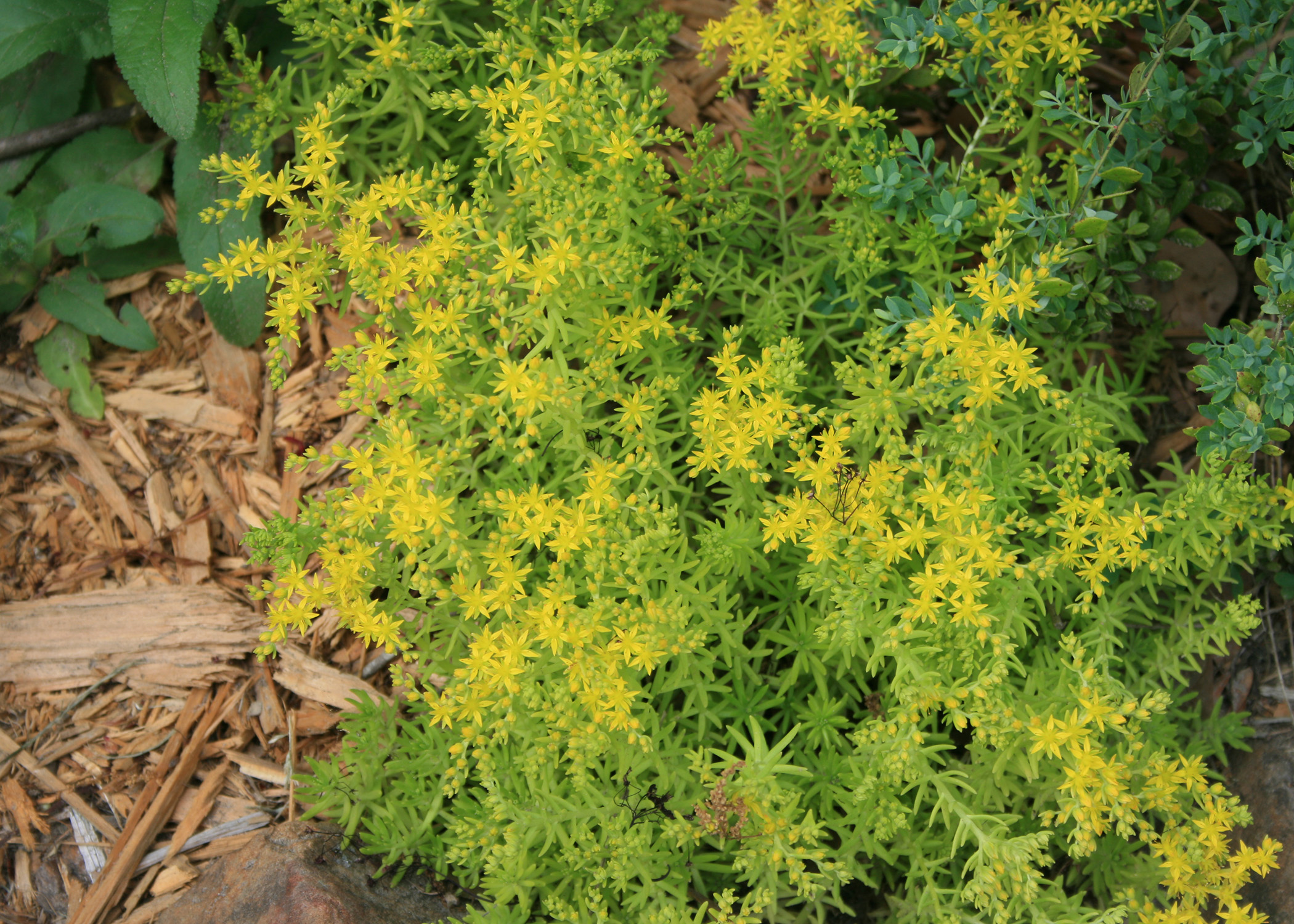 Succulent lemon sedum thrive in sunny locations mississippi state small yellow flowers adorn the top of a green succulent plant mightylinksfo