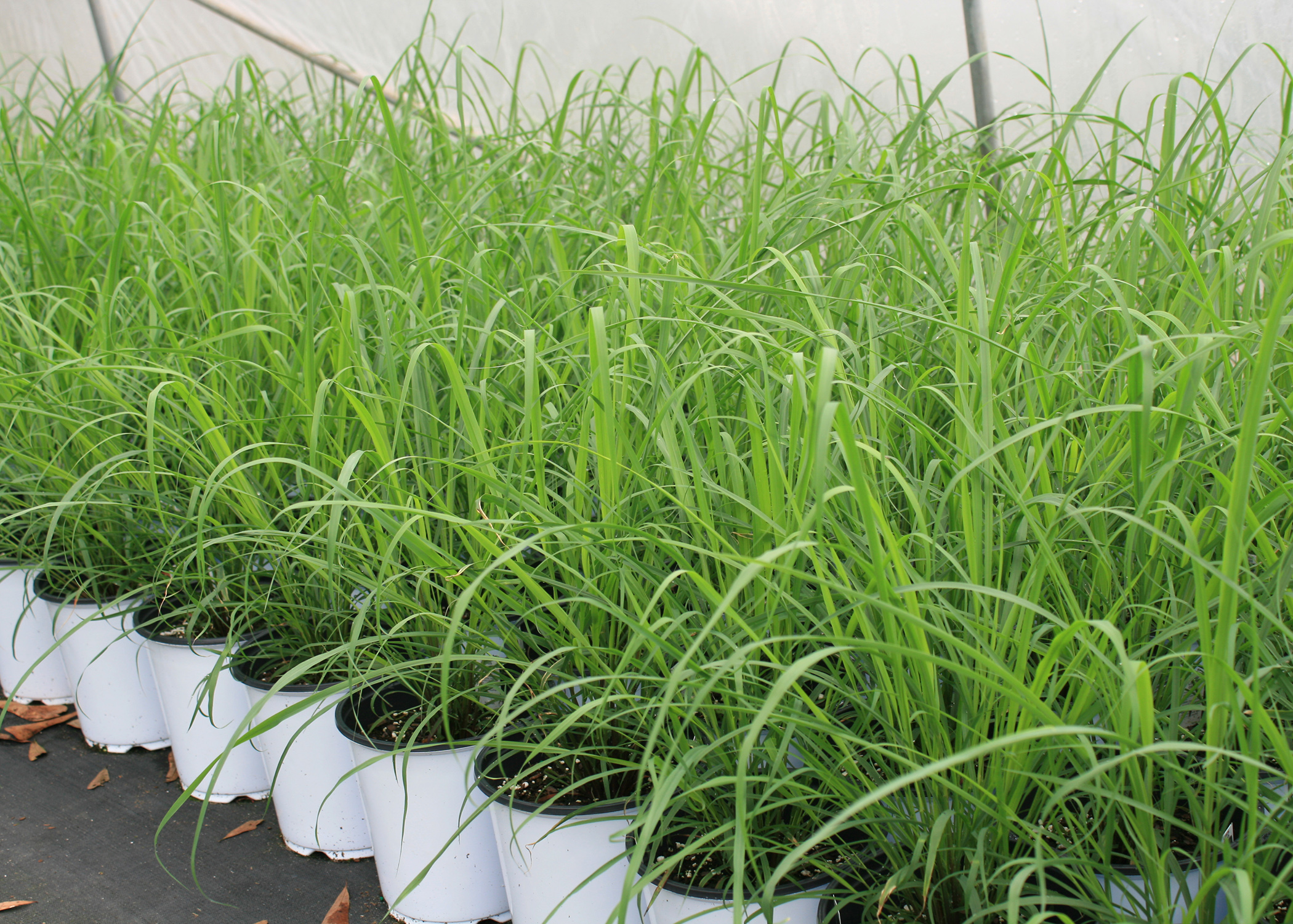 Use Lemongrass As Annual Or Perennial Mississippi State University