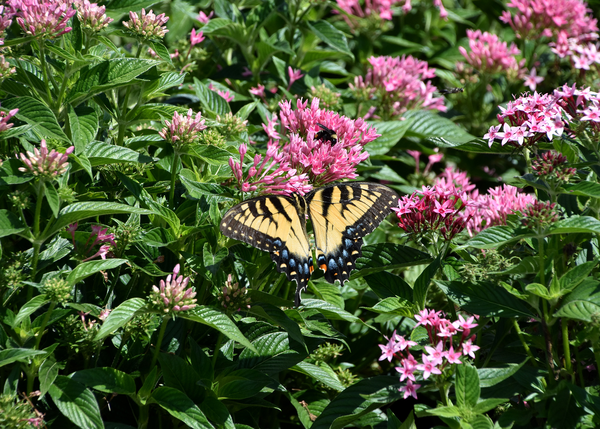 Certain Blooming Plants Attract Many Butterflies Mississippi State