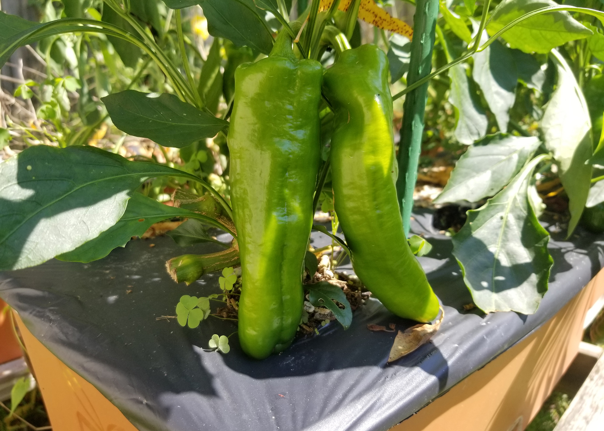 Hot and sweet peppers produce best in the fall | Mississippi