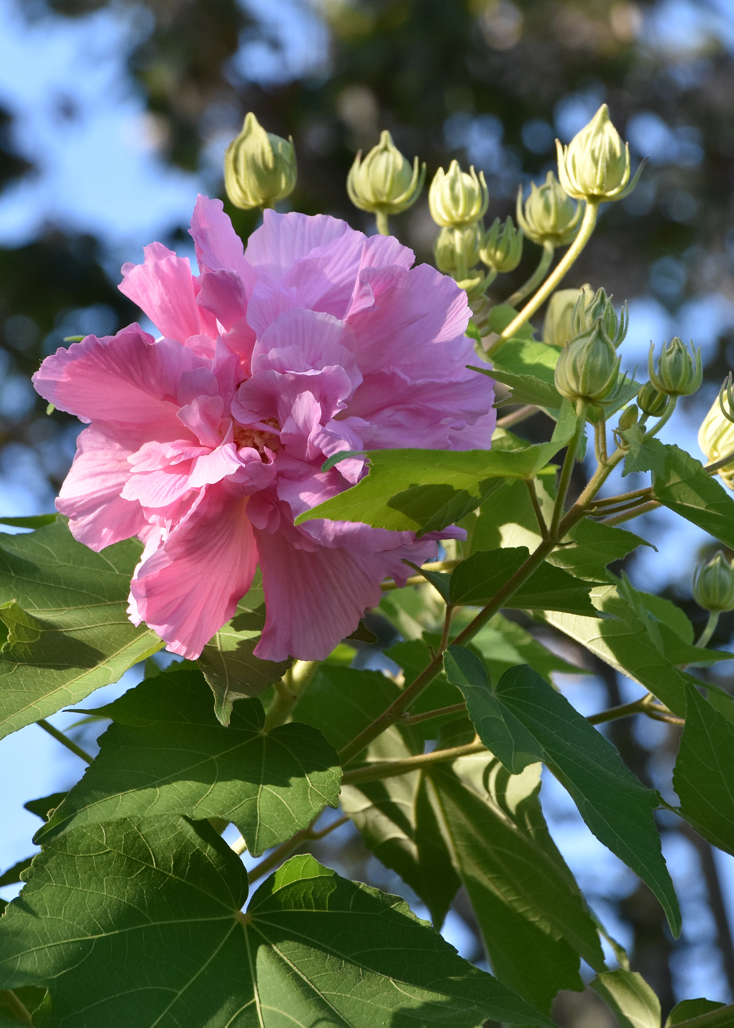 Confederate Rose Is Great For Fall Blooms Mississippi State