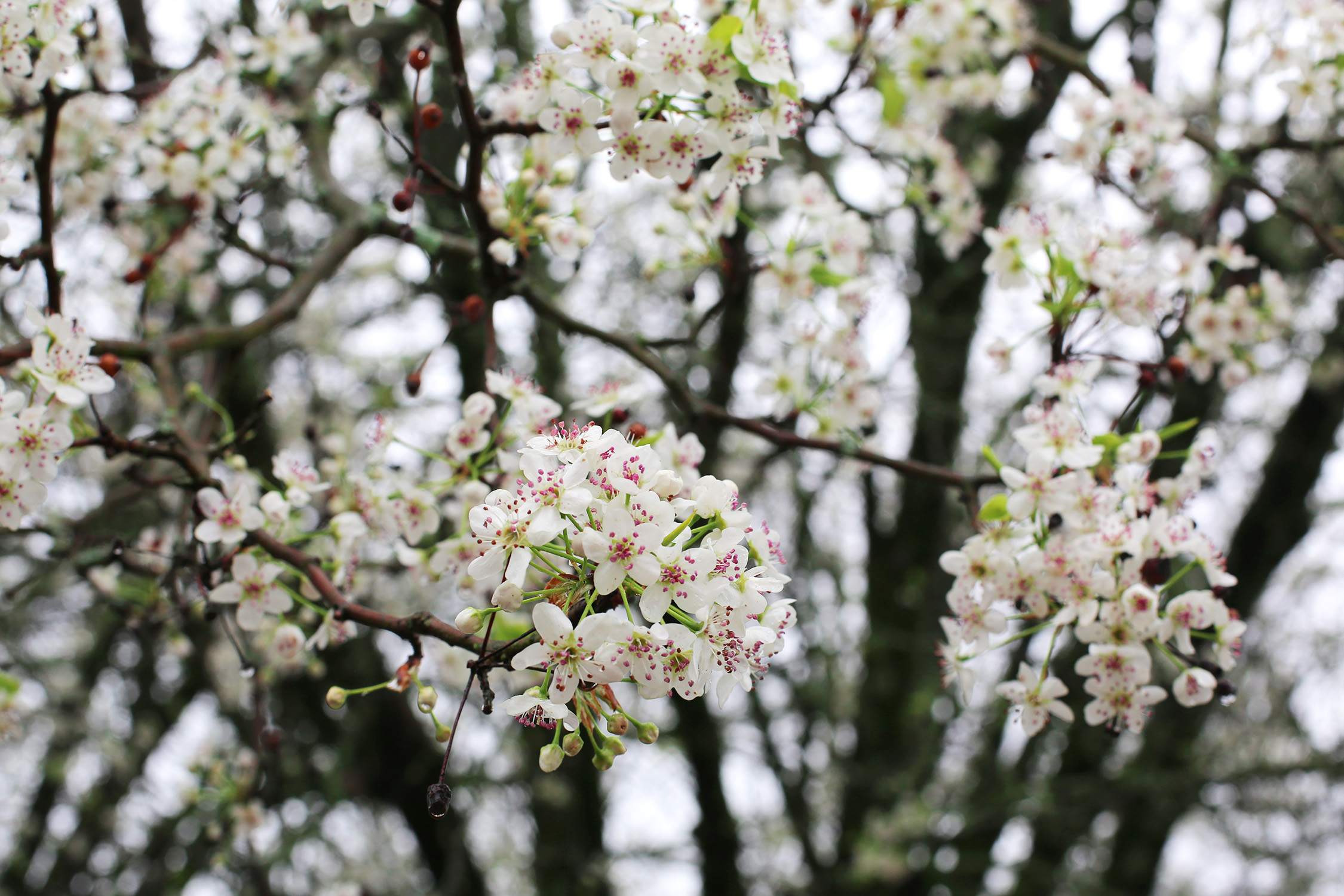 Bradford Pear Trees Offer Tortured Beauty Mississippi State