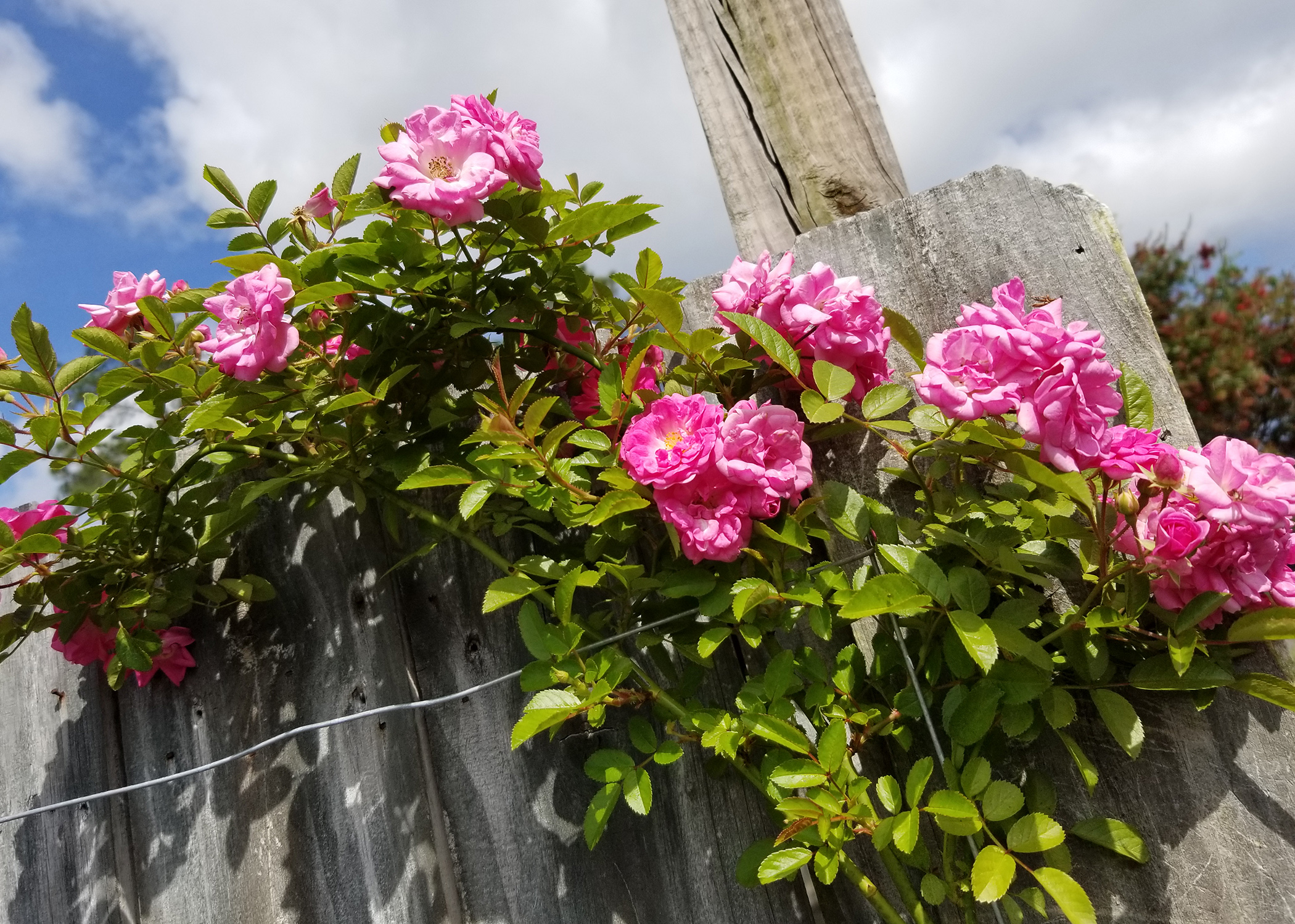 Peggy Martin Rose Thrives Even Without Much Care Mississippi