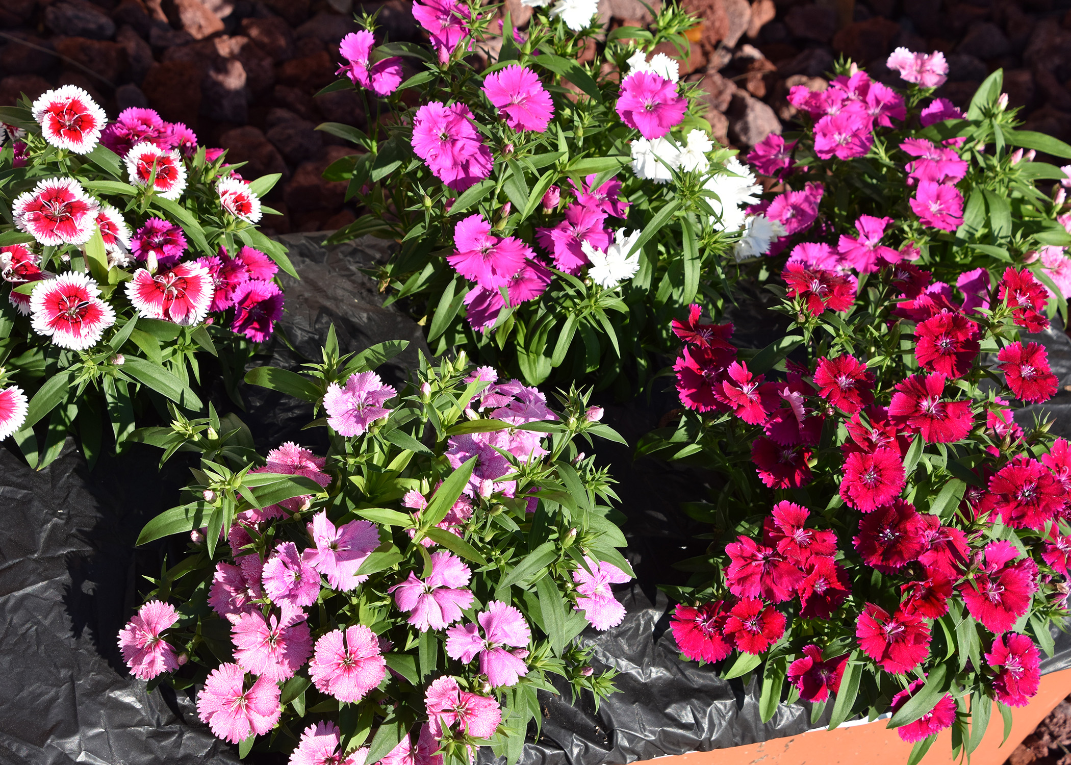 Perennial Planting Care And Maintenance Mississippi State