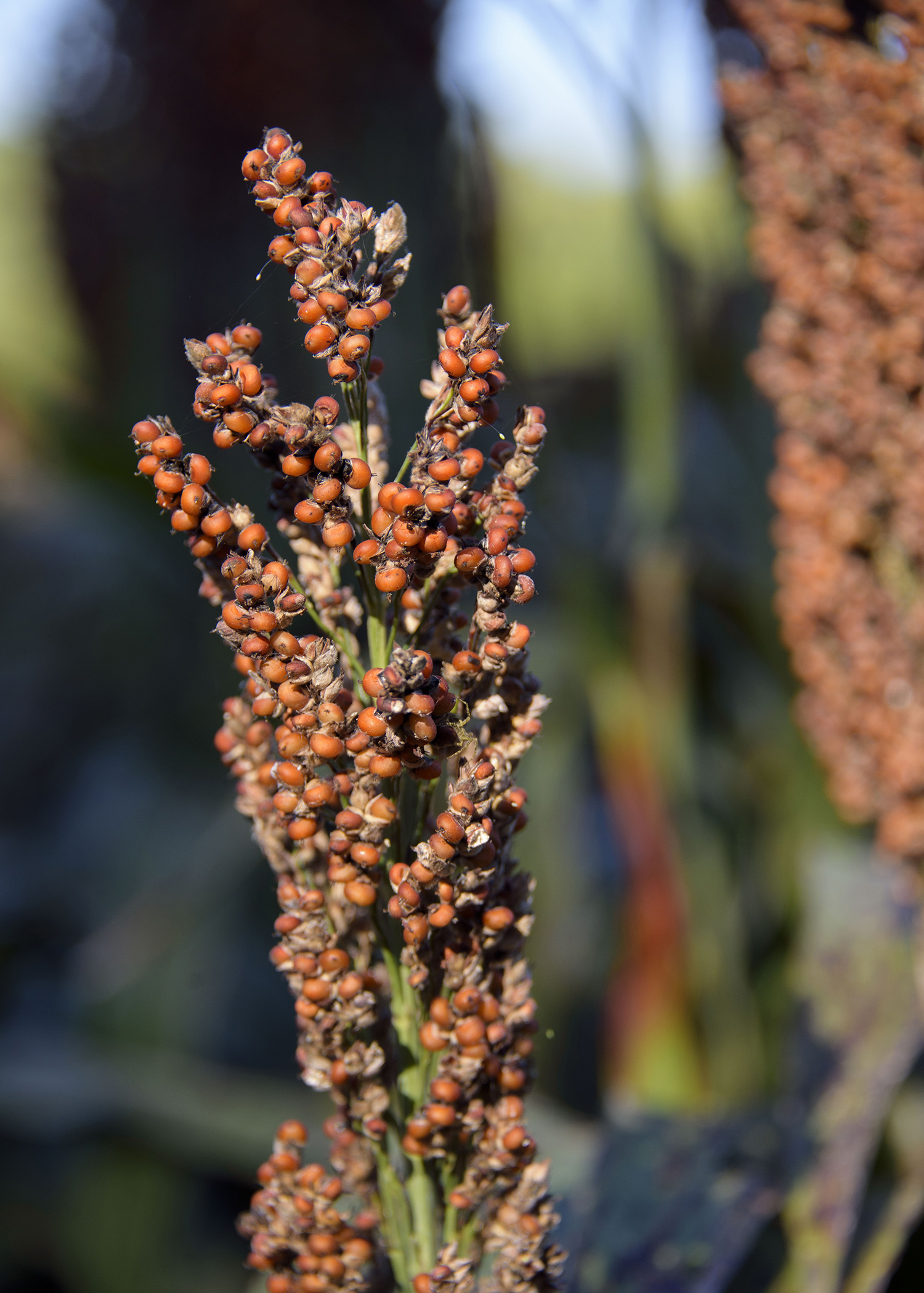 More than half of the state's grain sorghum had been harvested by mid-September. This sorghum was awaiting harvest Sept. 15, 2016 at Mississippi State University's R.R. Foil Plant Science Research Center in Starkville, Mississippi. (Photo by MSU Extension Service/Kevin Hudson)
