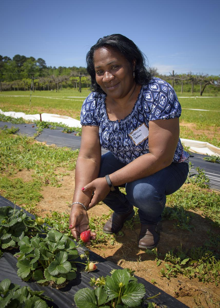Patricia Porter, a participant in the Mississippi State University Strawberry Field Day, examines strawberries growing at the MSU Truck Crops Branch Experiment Station on April 4, 2017. Porter, a vegetable and poultry grower, said she is considering the addition of strawberries to her farm in Lexington, Mississippi. (Photo by MSU Extension Service/Kevin Hudson)