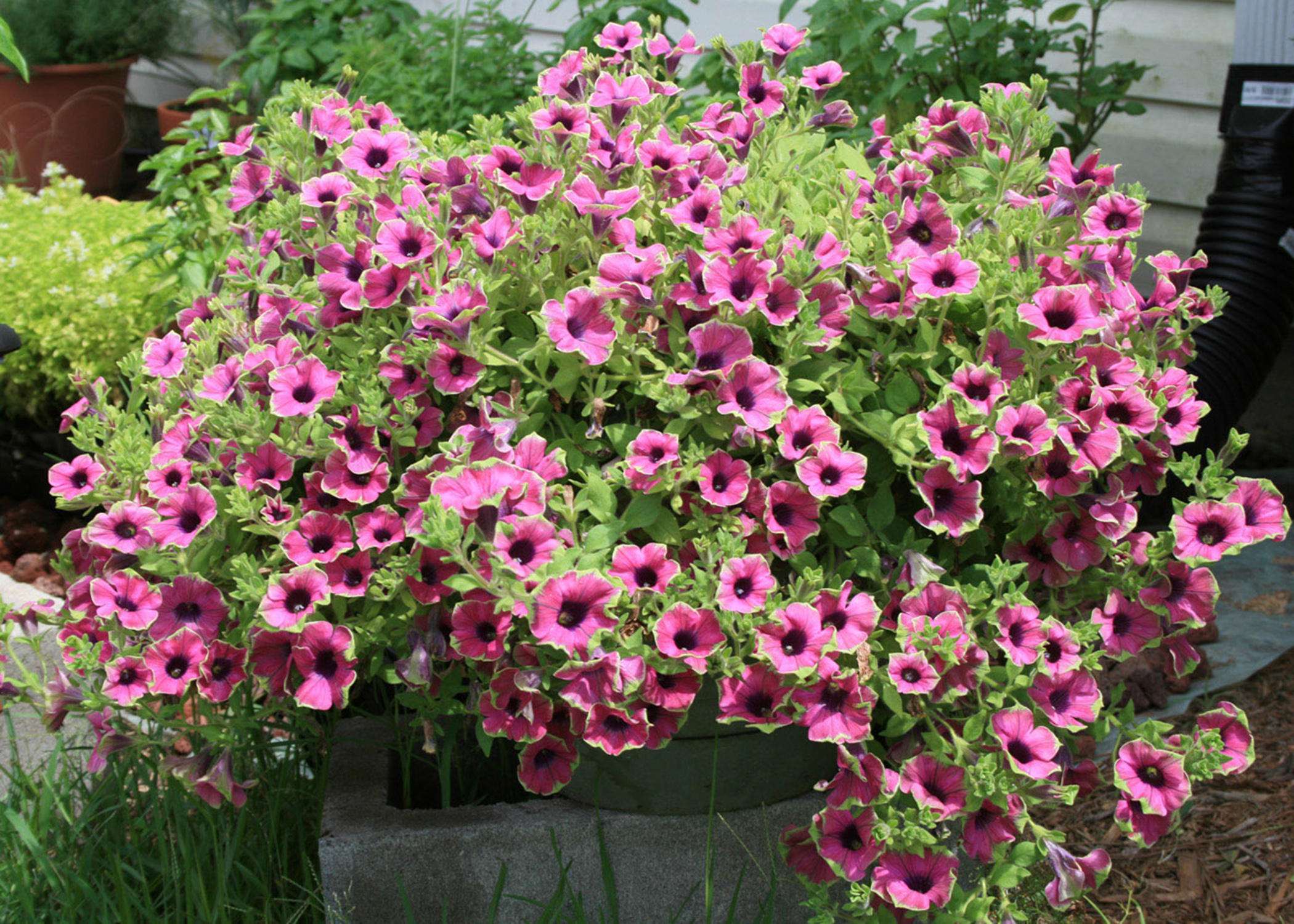 Pretty Much Picasso is a beautiful supertunia that is sure to attract butterflies and hummingbirds looking for a tasty treat. (MSU Extension Service file photo)