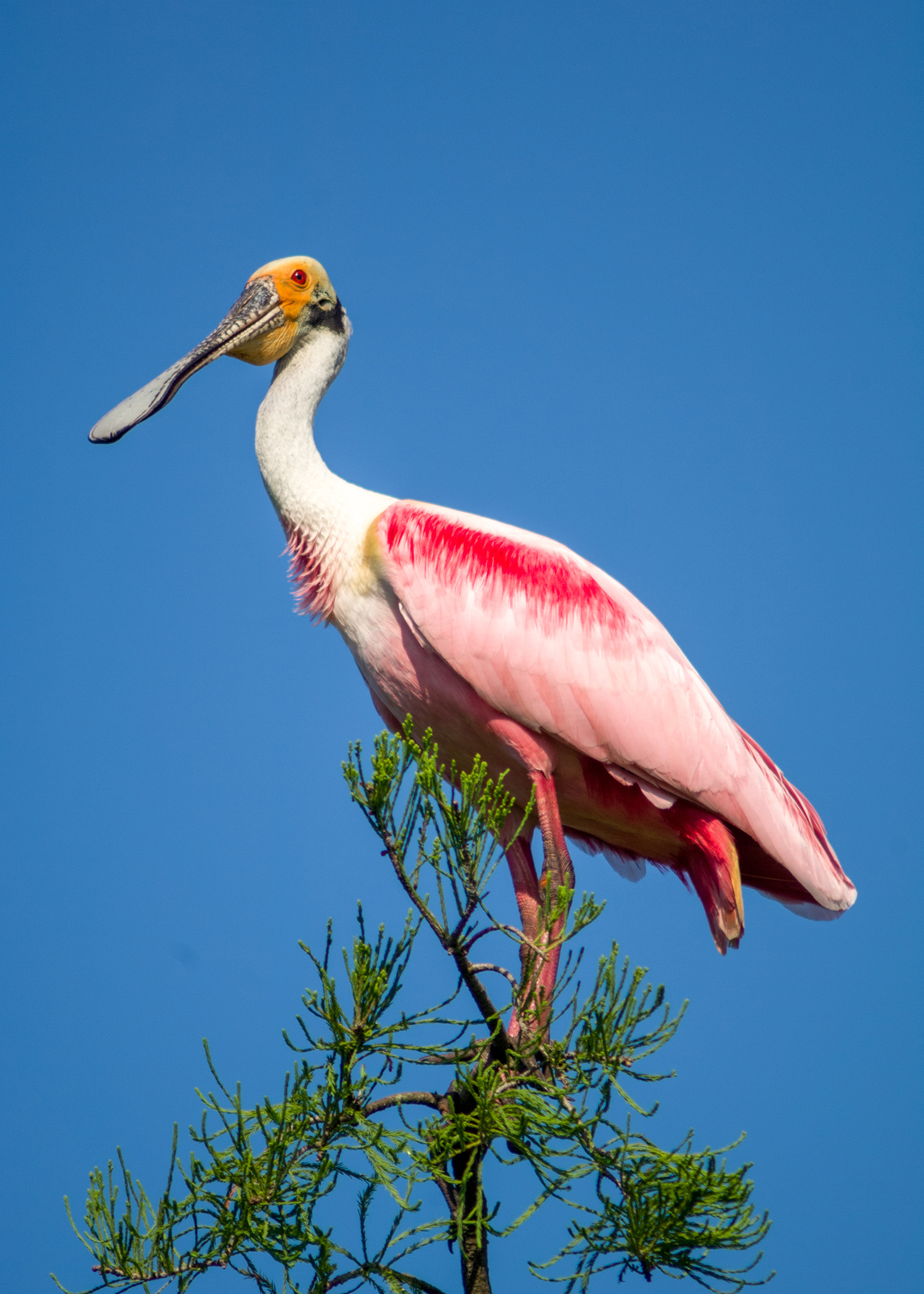 Roseate spoonbills burst with colors whether they are flying or roosting in a tree. (Photo by Bill Stripling).