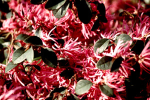 Burgundy Loropetalum