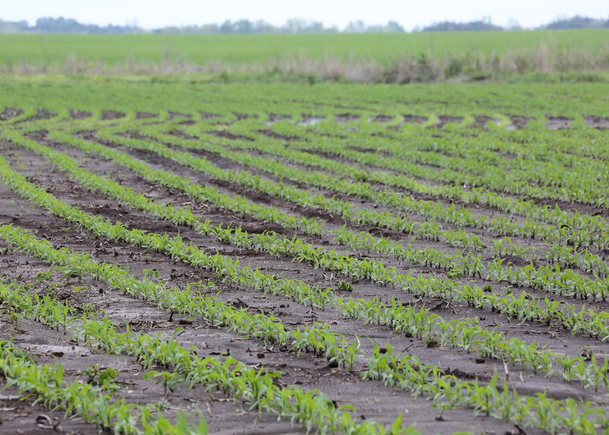 Mississippi corn producers are struggling to plant their fields as frequent, heavy rains have left conditions too wet and muddy to operate on most days this spring. This corn field in Noxubee County, Mississippi, was photographed April 12, 2016. (Photo by MSU Extension Service/Kat Lawrence)