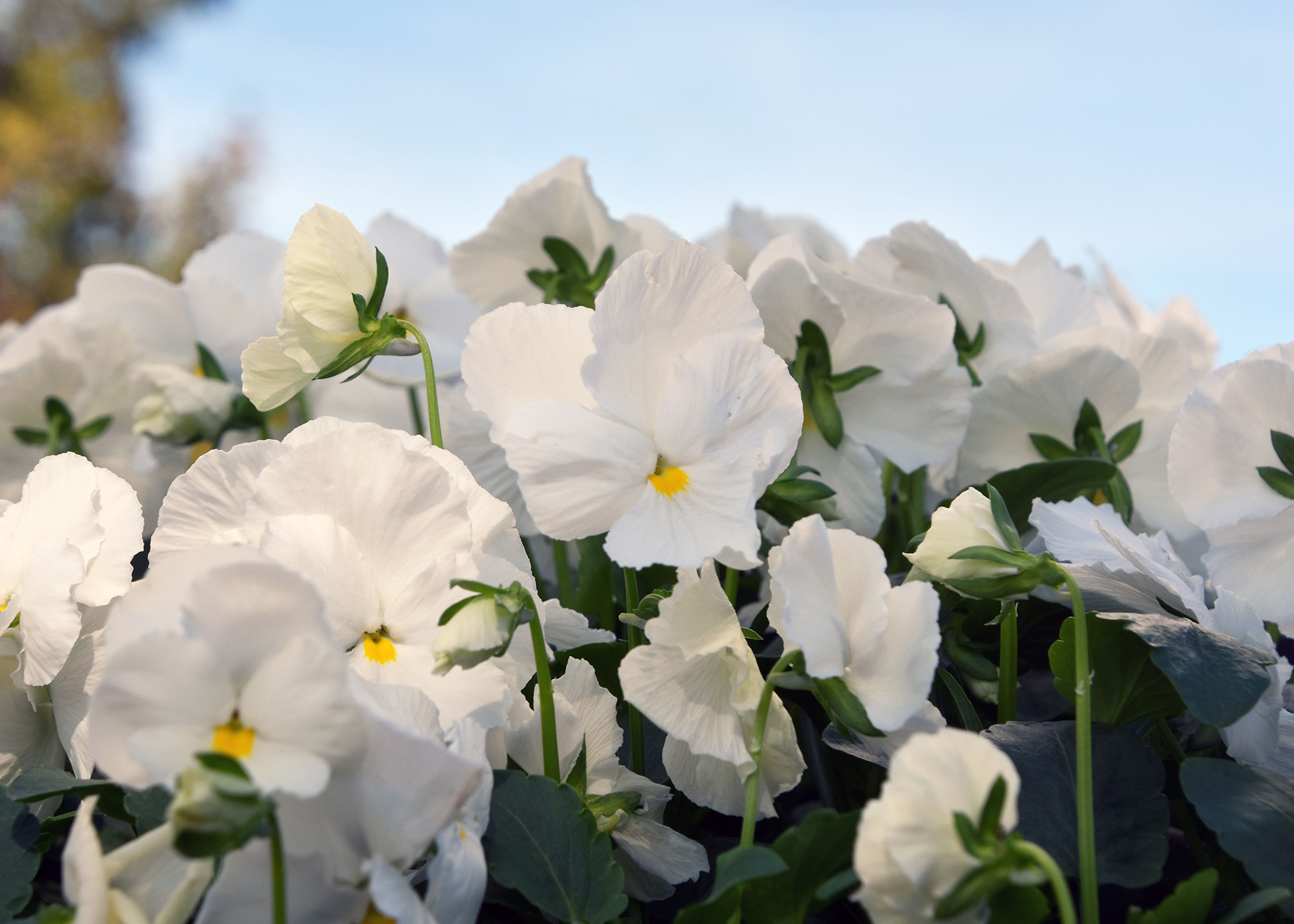 Pansy Planting Time Arrives In Mississippi Mississippi State